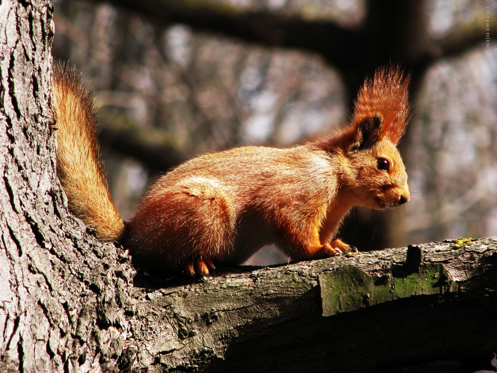 Download mobile wallpaper Animals, Nature, Squirrel for free.