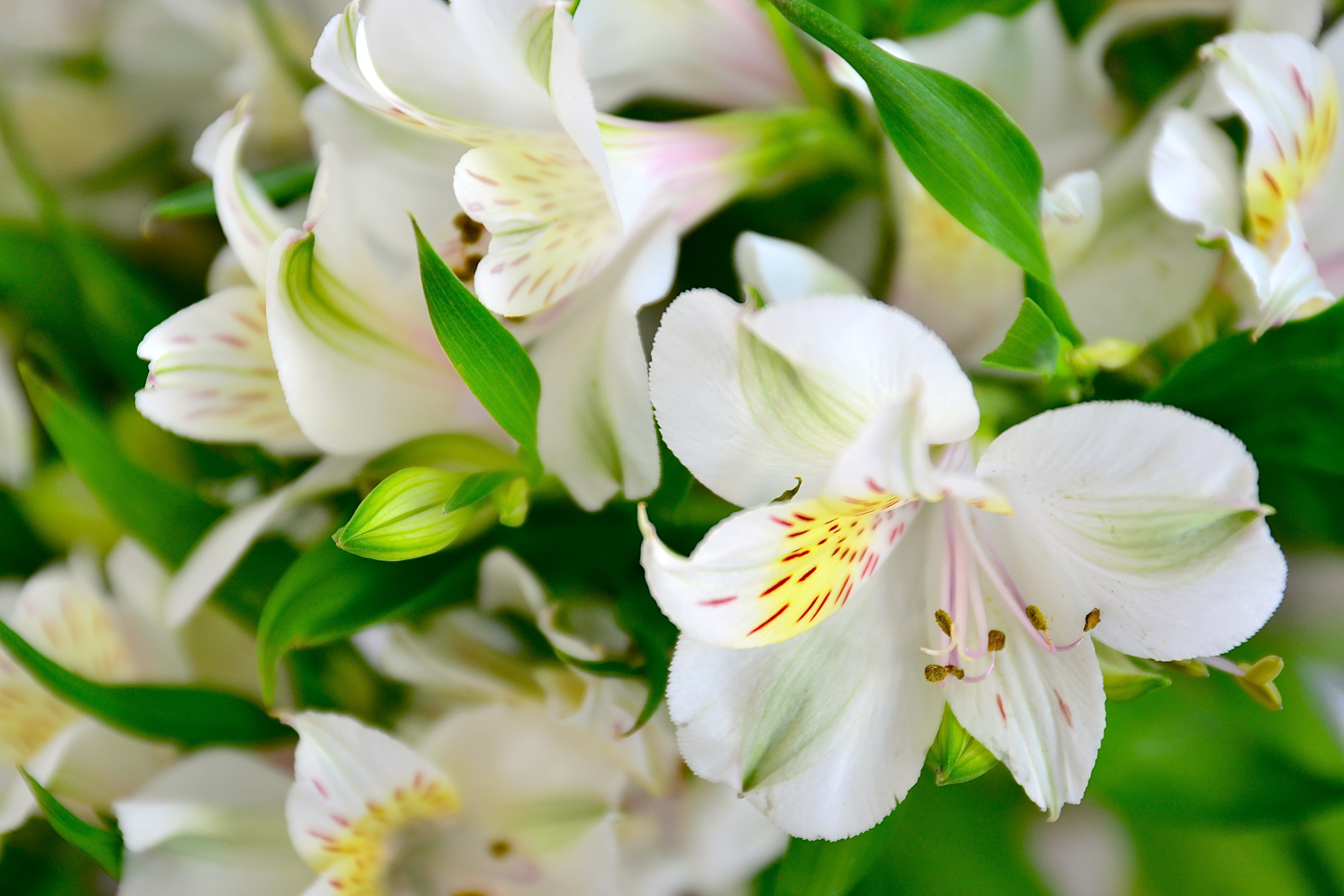 105536 download wallpaper Flowers, Lilies, Petals, Buds, Flora screensavers and pictures for free