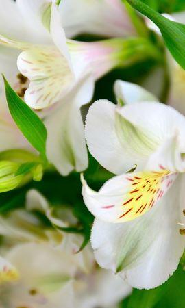 105536 скачать обои Цветы, Лилии, Лепестки, Бутоны, Флора - заставки и картинки бесплатно