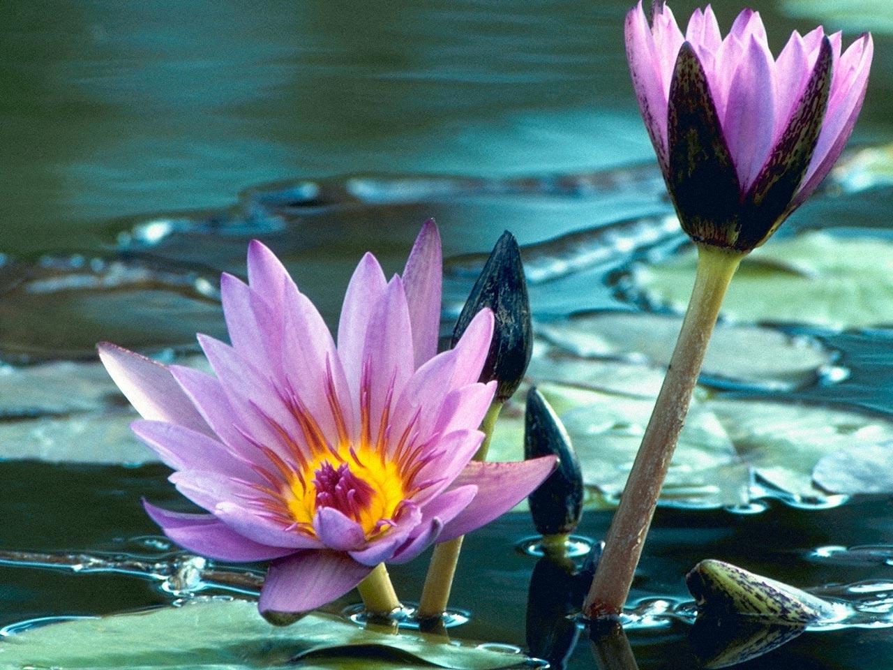 31884 télécharger le fond d'écran Plantes, Fleurs, Nénuphars - économiseurs d'écran et images gratuitement