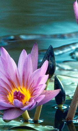 31884 скачать обои Растения, Цветы, Кувшинки - заставки и картинки бесплатно