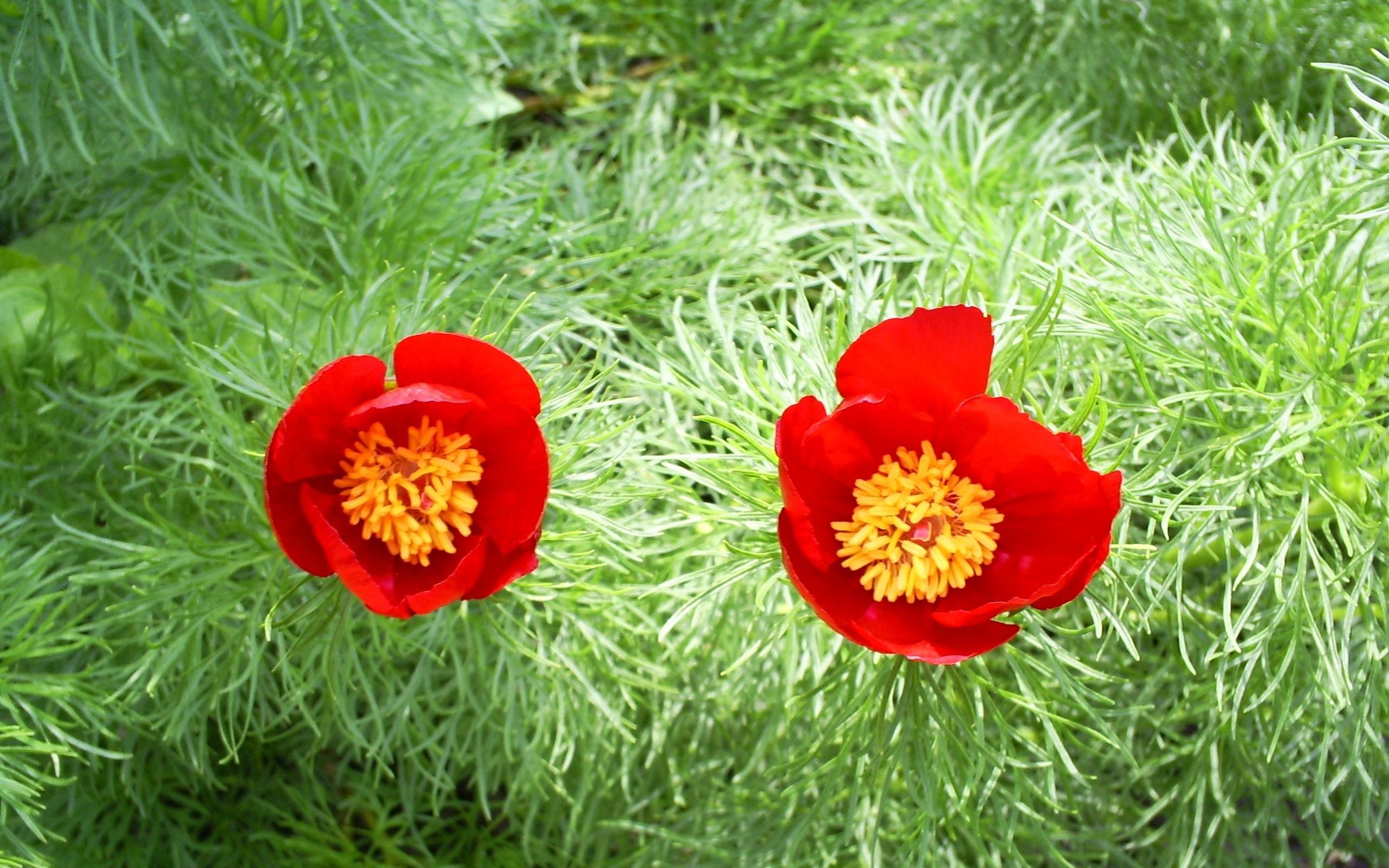 7748 скачать обои Растения, Цветы, Тюльпаны - заставки и картинки бесплатно