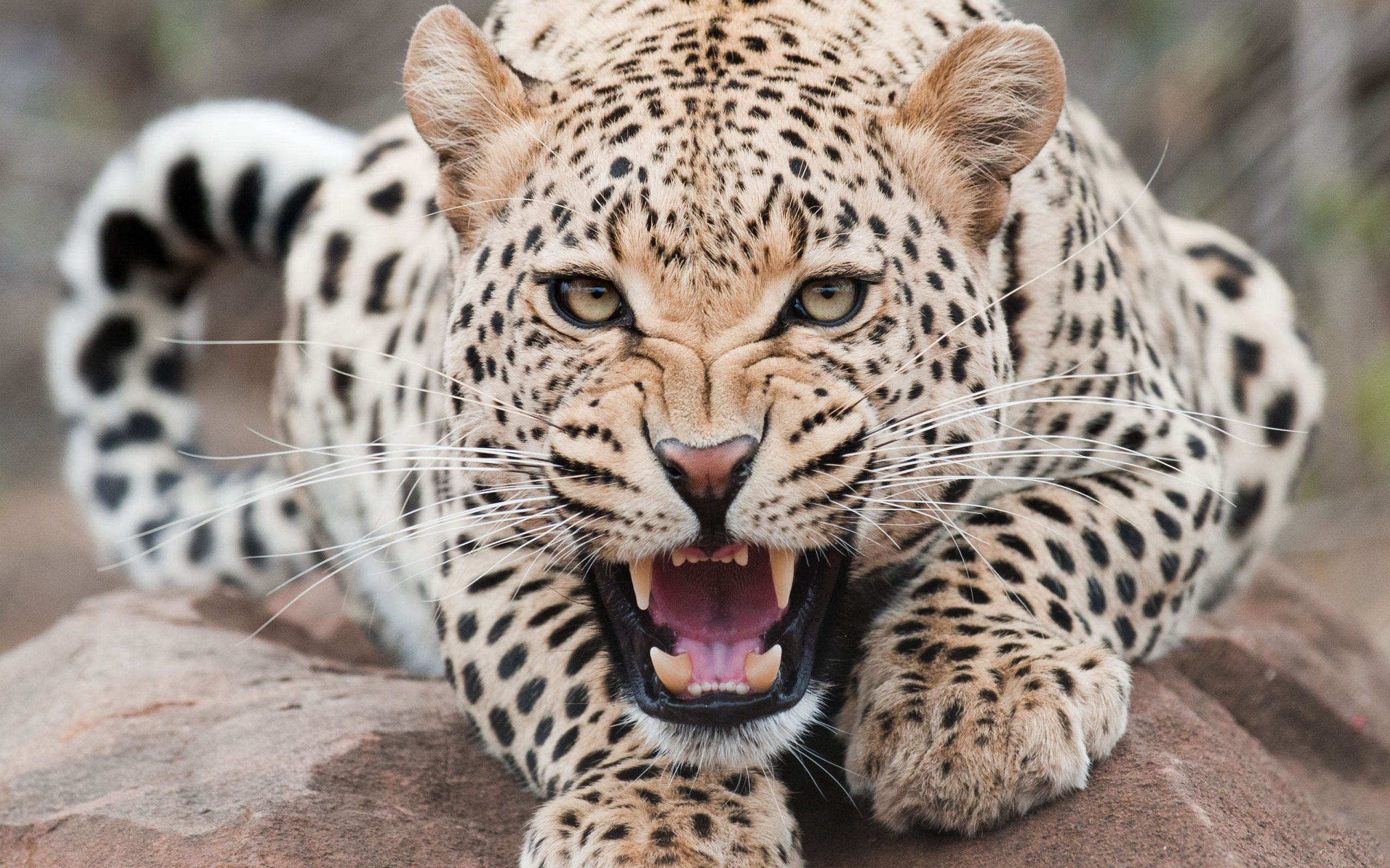 62525 download wallpaper Animals, Leopard, Aggression, Grin, Muzzle screensavers and pictures for free