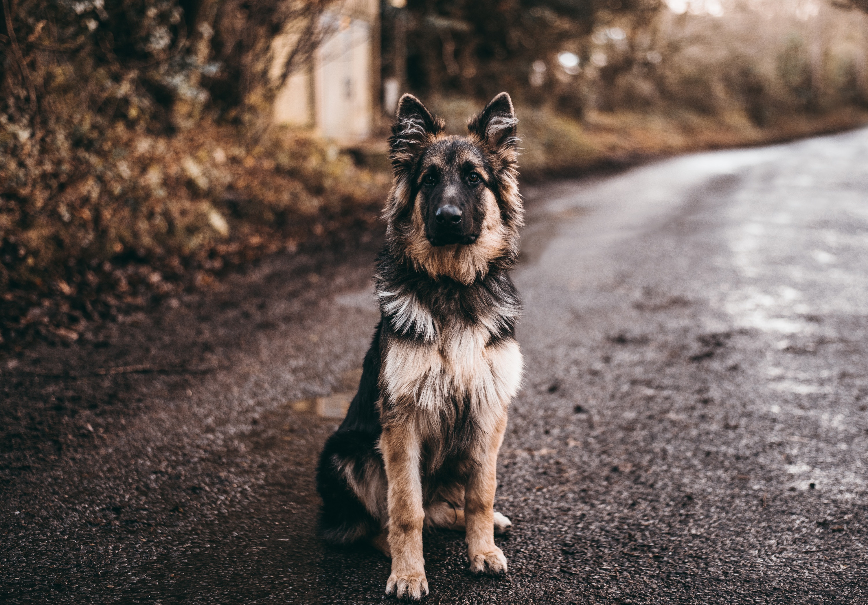 50816 download wallpaper Animals, Is Sitting, Dog, Sheepdog, Sheep Dog, Sits screensavers and pictures for free