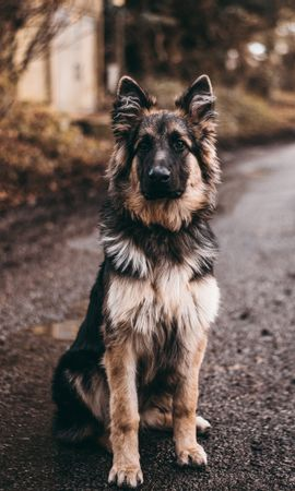 50816 download wallpaper Animals, Dog, Sheepdog, Sheep Dog, Is Sitting, Sits screensavers and pictures for free