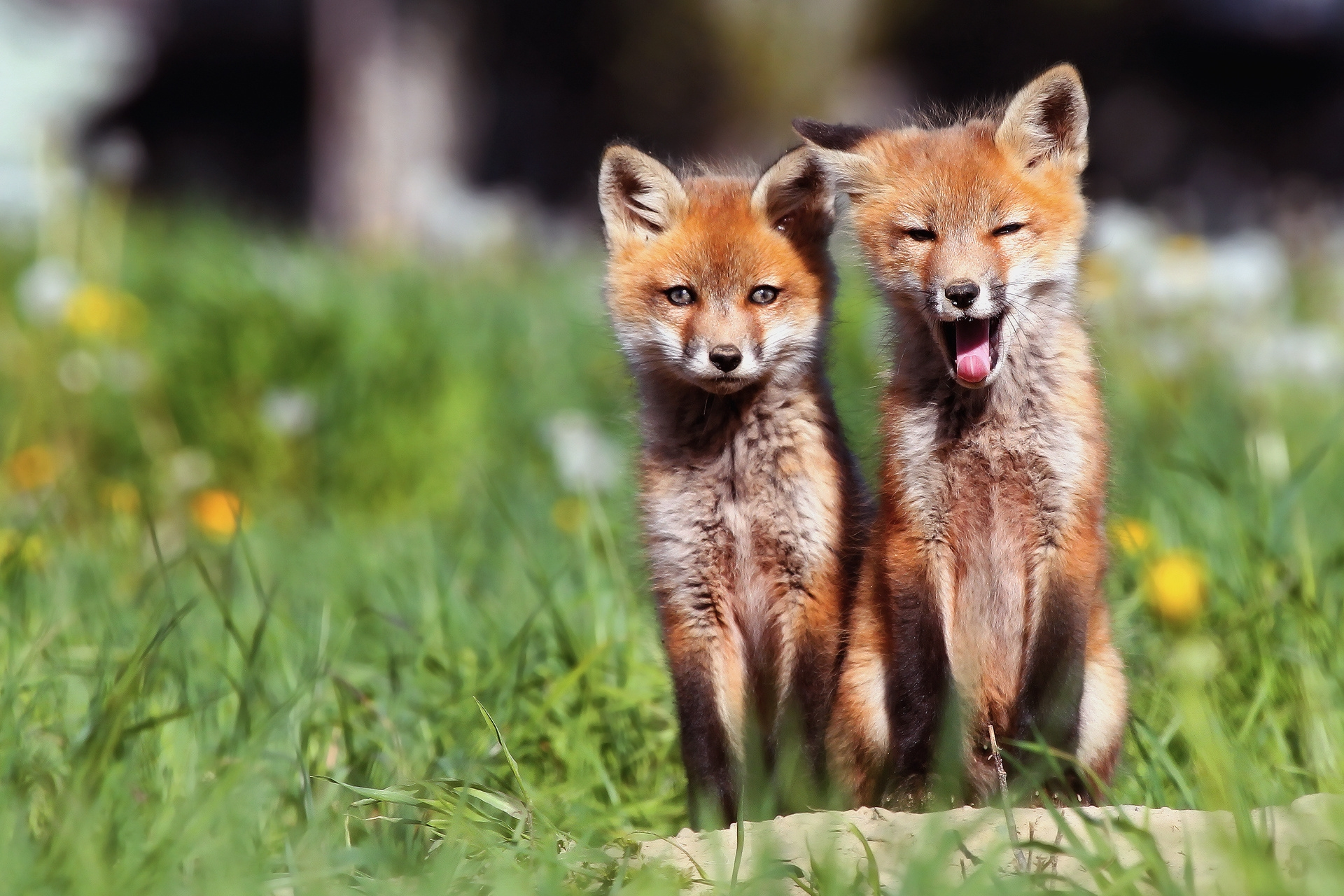 63350 download wallpaper Animals, Fox, Couple, Pair, Cubs, Young, Grass, Open Mouth screensavers and pictures for free
