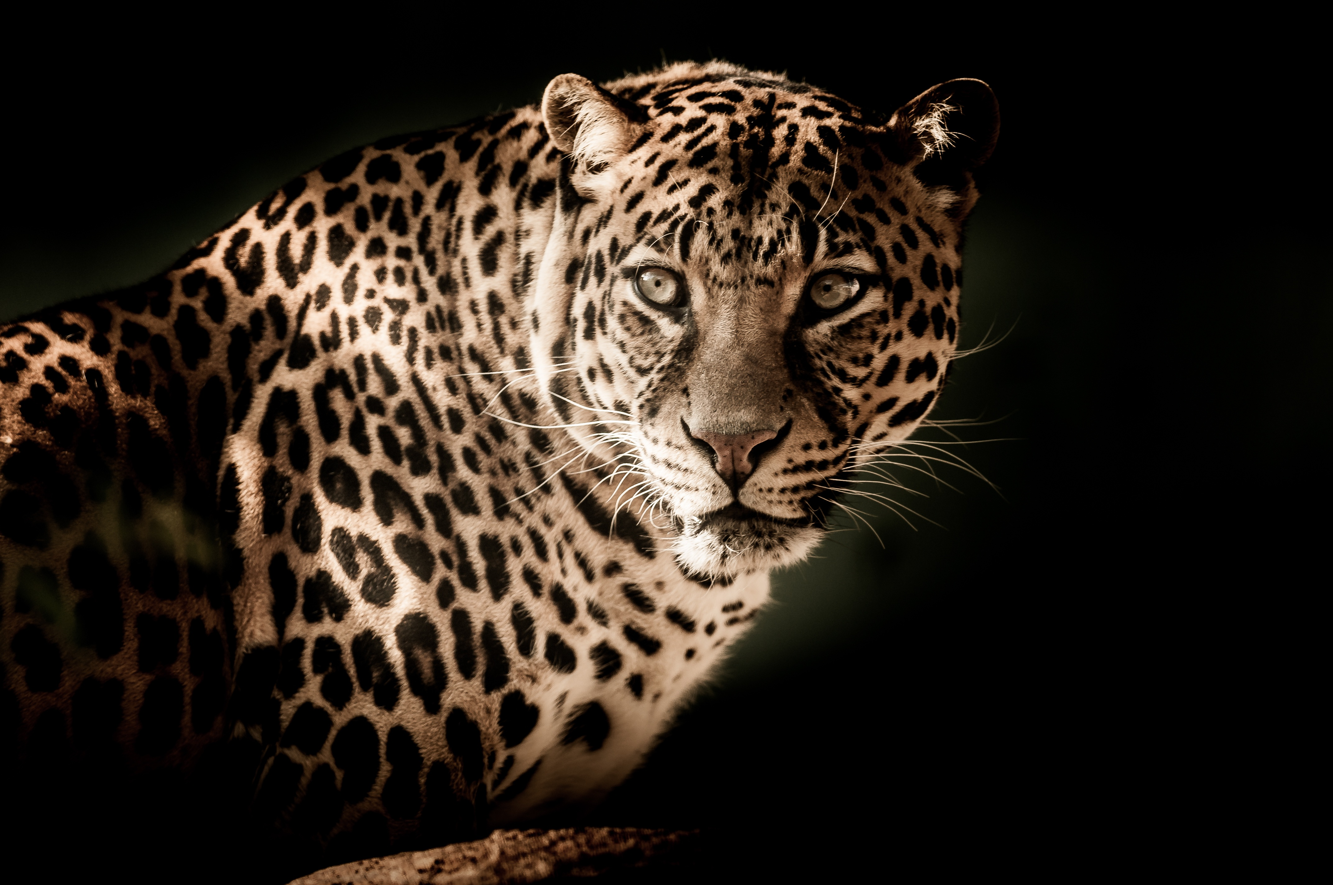 122085 download wallpaper Animals, Leopard, Muzzle, Predator, Sight, Opinion screensavers and pictures for free