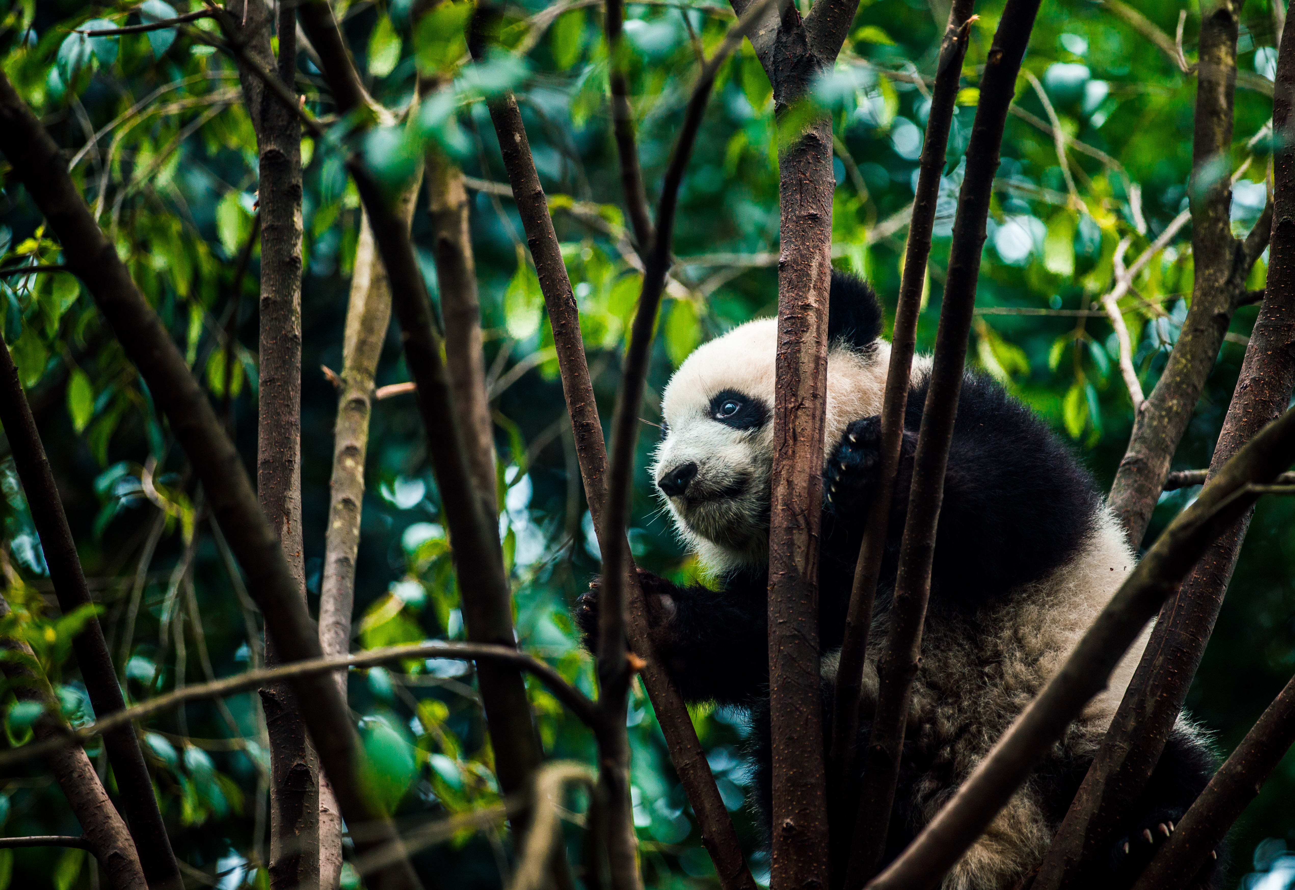 85270 download wallpaper Animals, Panda, Bear, Bamboo, Branches screensavers and pictures for free