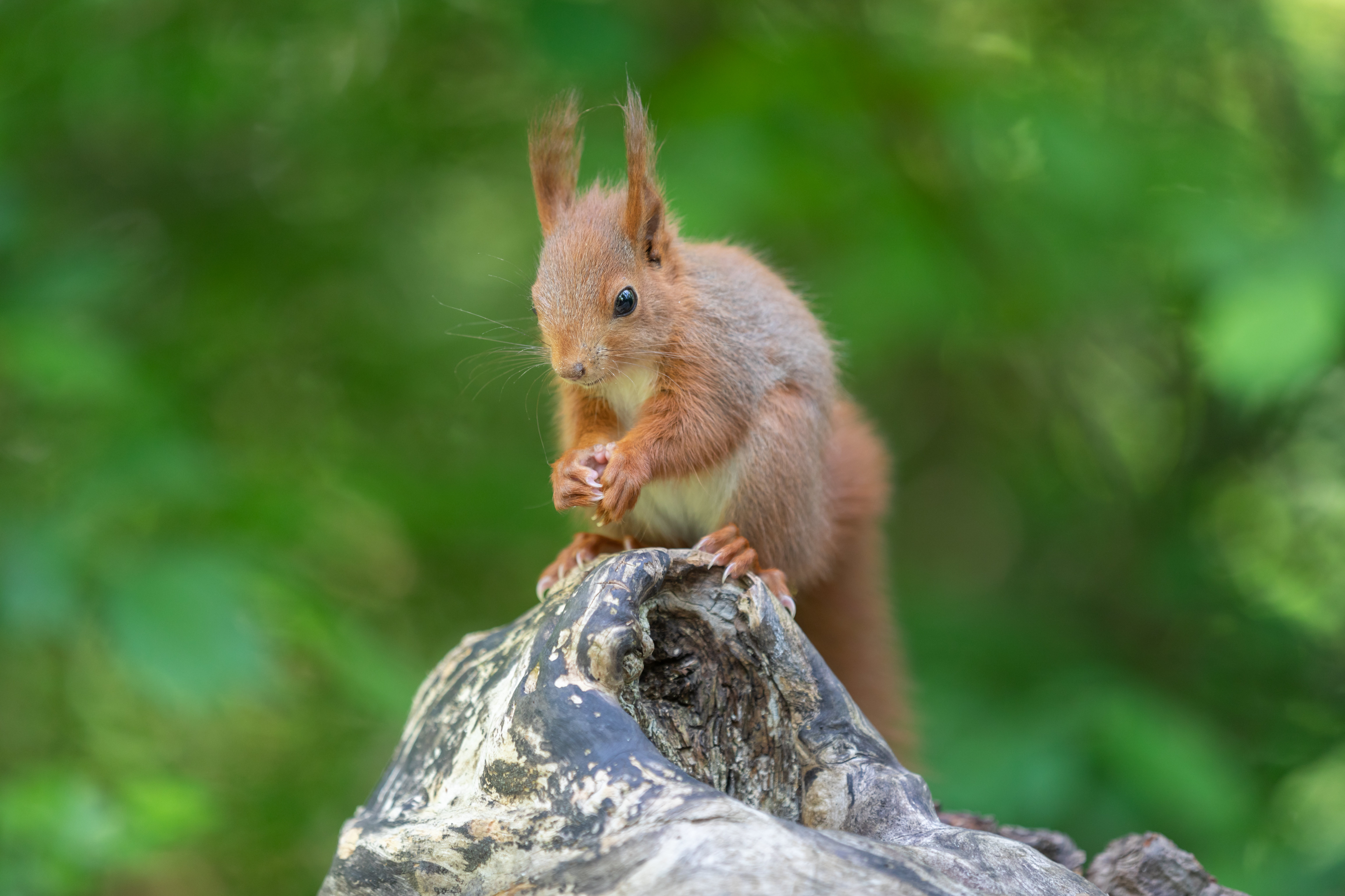 128509 download wallpaper Animals, Squirrel, Rodent, Beast, Nice, Sweetheart, Fluffy screensavers and pictures for free