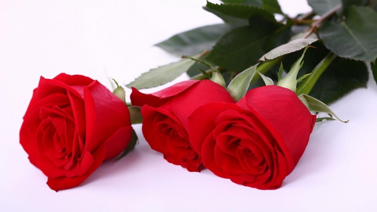 45888 скачать обои Растения, Цветы, Розы - заставки и картинки бесплатно