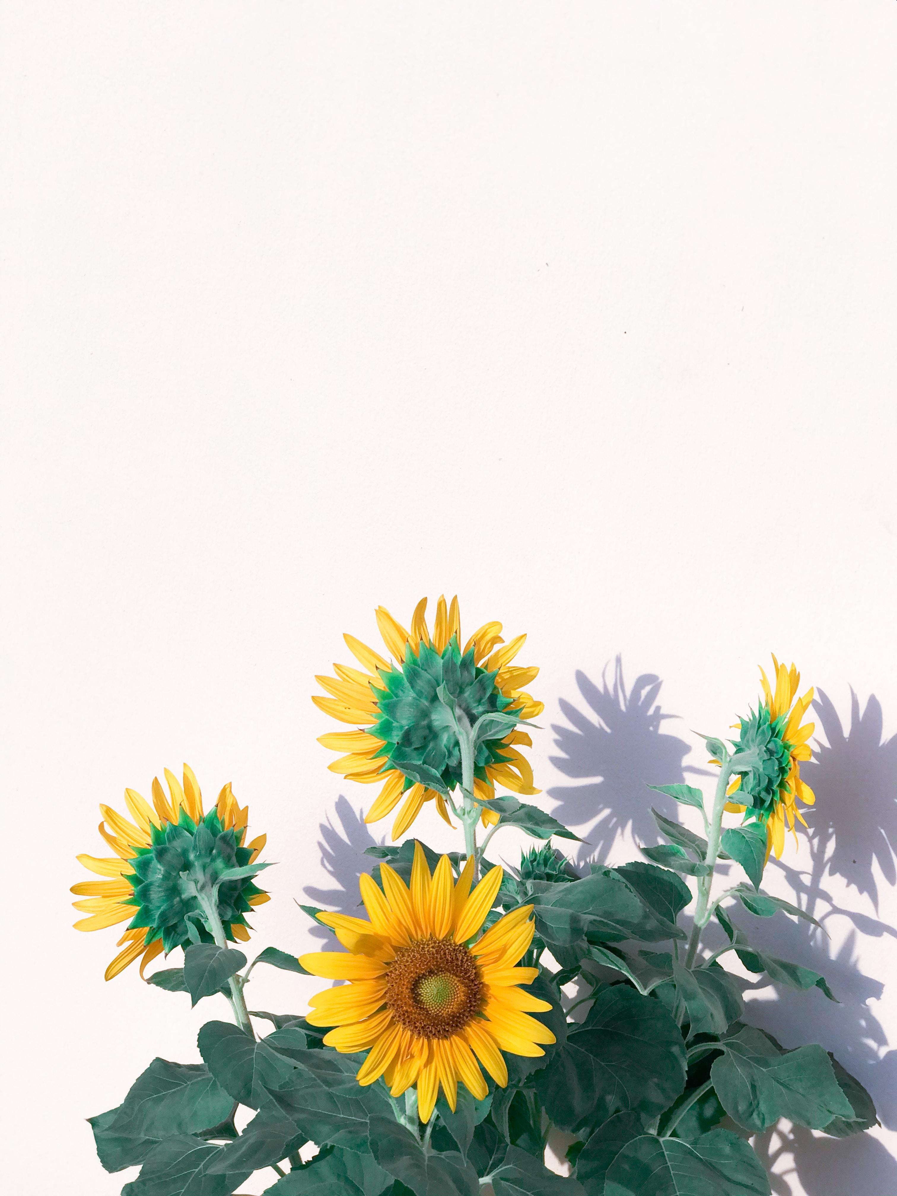 138488 Заставки и Обои Подсолнухи на телефон. Скачать Цветы, Желтый, Растение, Подсолнухи картинки бесплатно