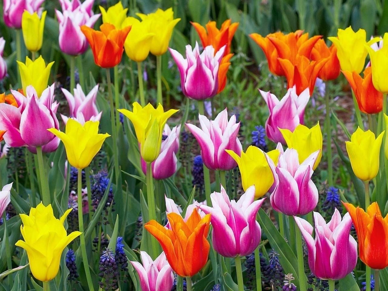 27960 скачать обои Растения, Цветы, Тюльпаны - заставки и картинки бесплатно