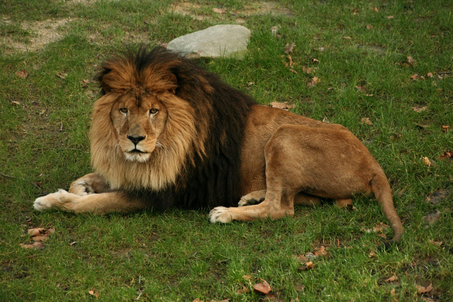 124759 download wallpaper Animals, Lion, To Lie Down, Lie, Grass, Mane, Big Cat, Predator screensavers and pictures for free