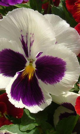 81 скачать обои Растения, Цветы, Анютины Глазки - заставки и картинки бесплатно