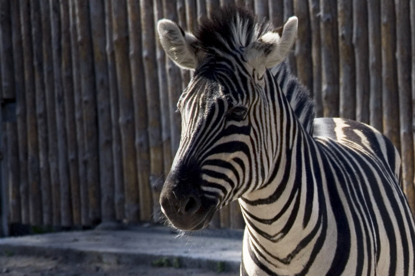 8194 download wallpaper Animals, Zebra screensavers and pictures for free