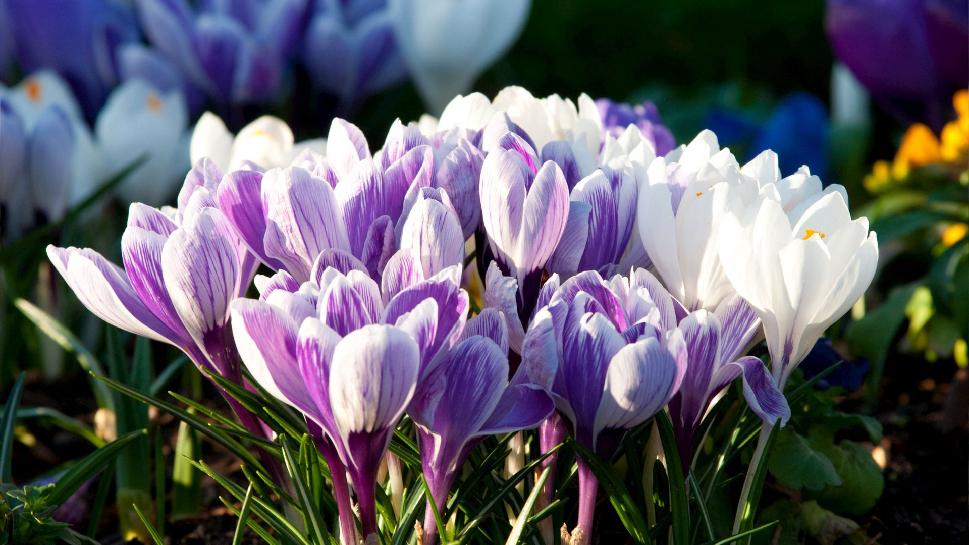 62738 Screensavers and Wallpapers Petals for phone. Download Flowers, Snowdrops, Plant, Macro, Petals pictures for free