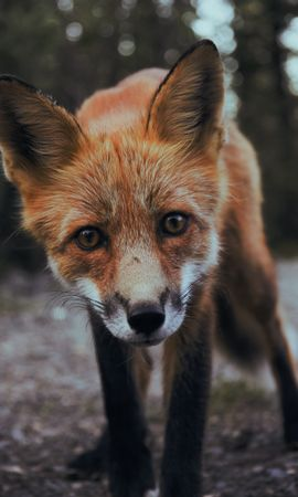 128051 download wallpaper Animals, Fox, Young, Joey, Muzzle, Sight, Opinion, Predator screensavers and pictures for free