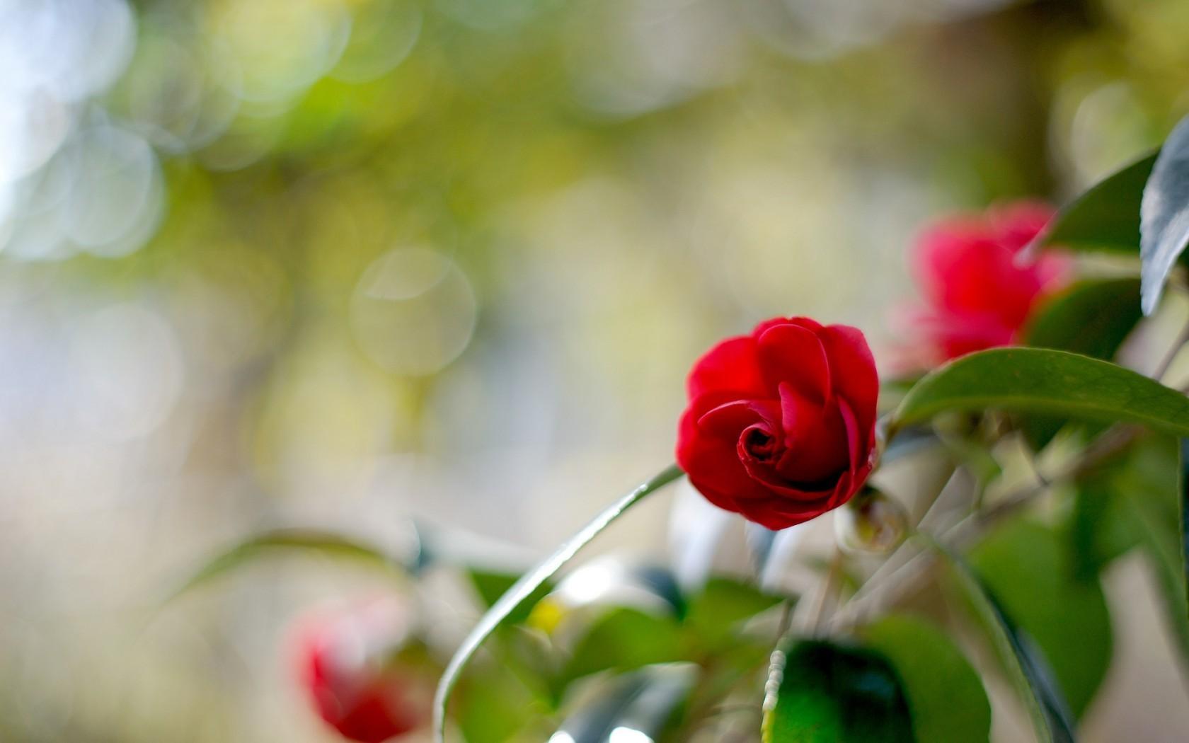 47947 скачать обои Растения, Цветы, Розы - заставки и картинки бесплатно
