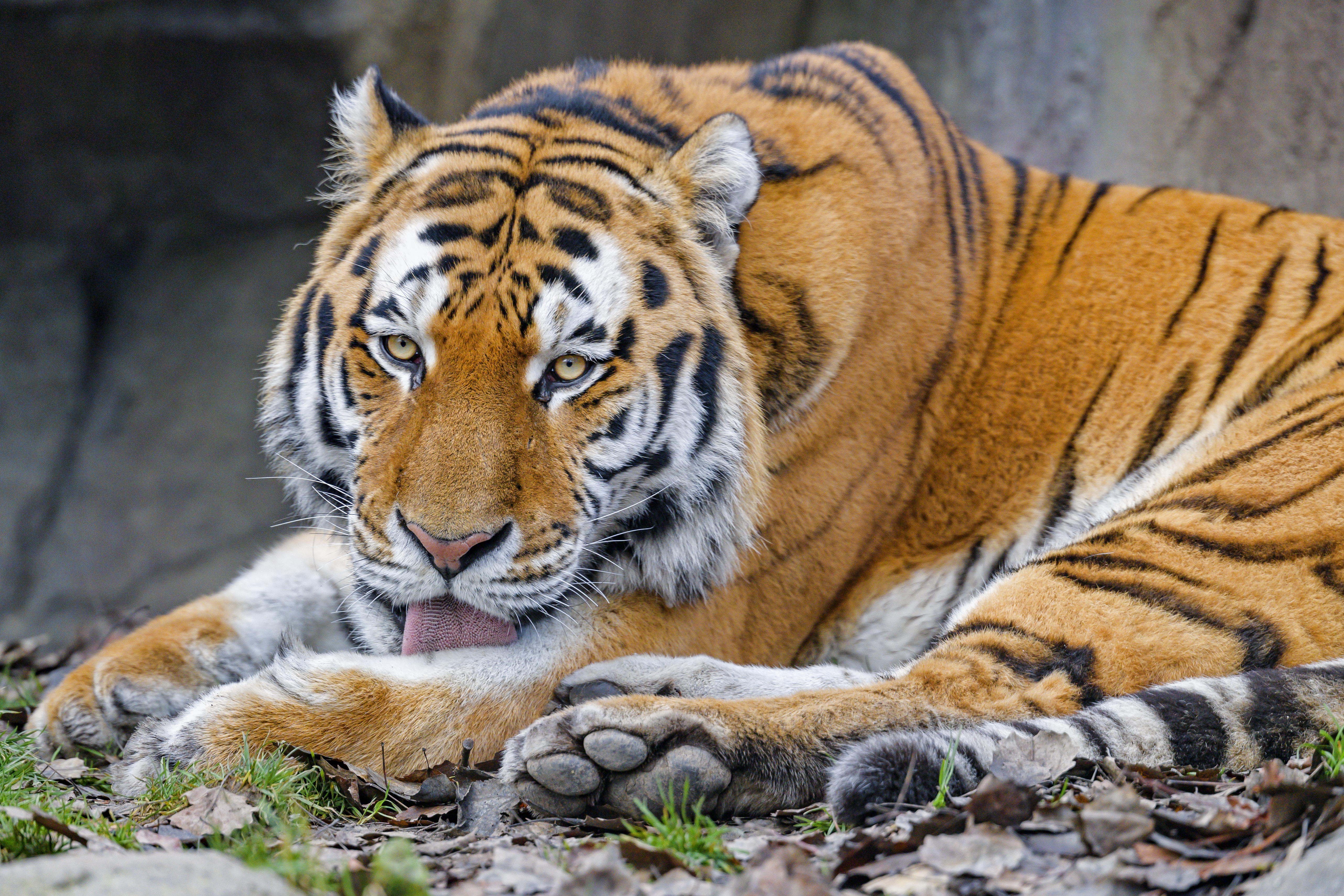 82306 download wallpaper Animals, Tiger, Protruding Tongue, Tongue Stuck Out, Animal, Big Cat, Wild screensavers and pictures for free