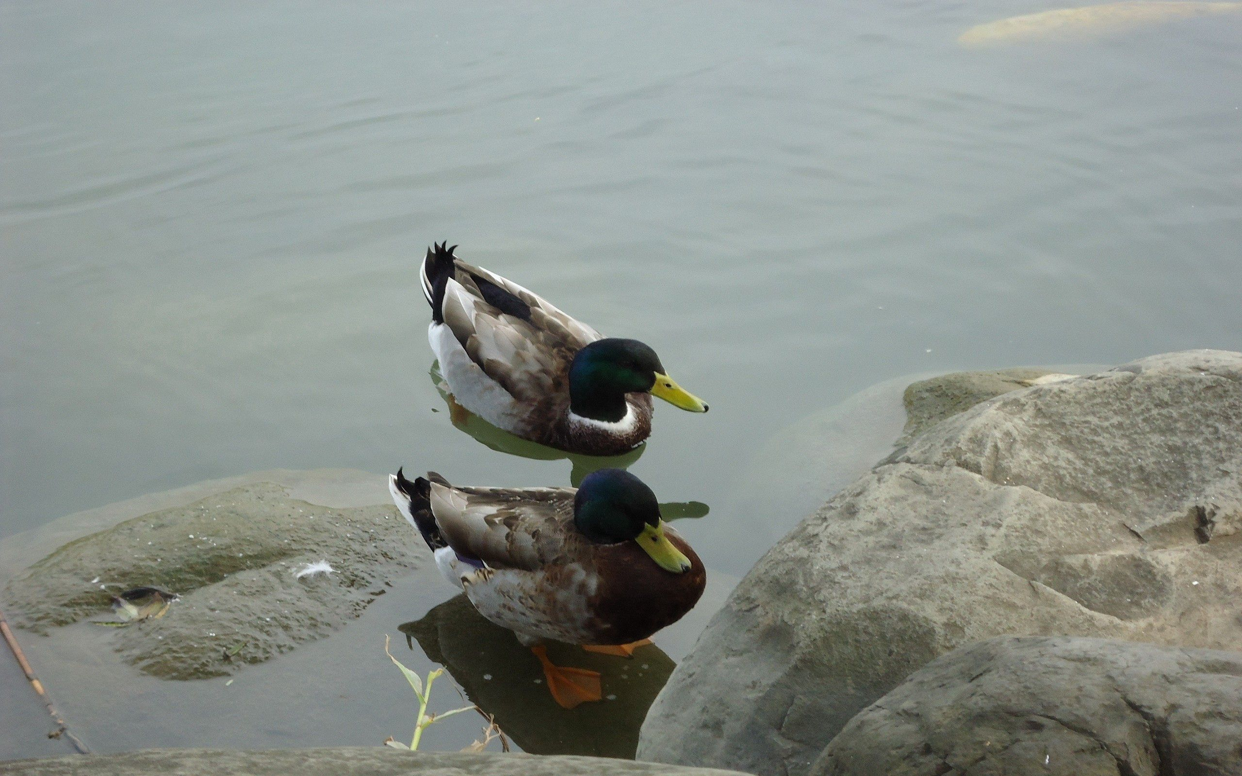 105452 download wallpaper Animals, Duck, Lake, Stones, To Swim, Swim screensavers and pictures for free