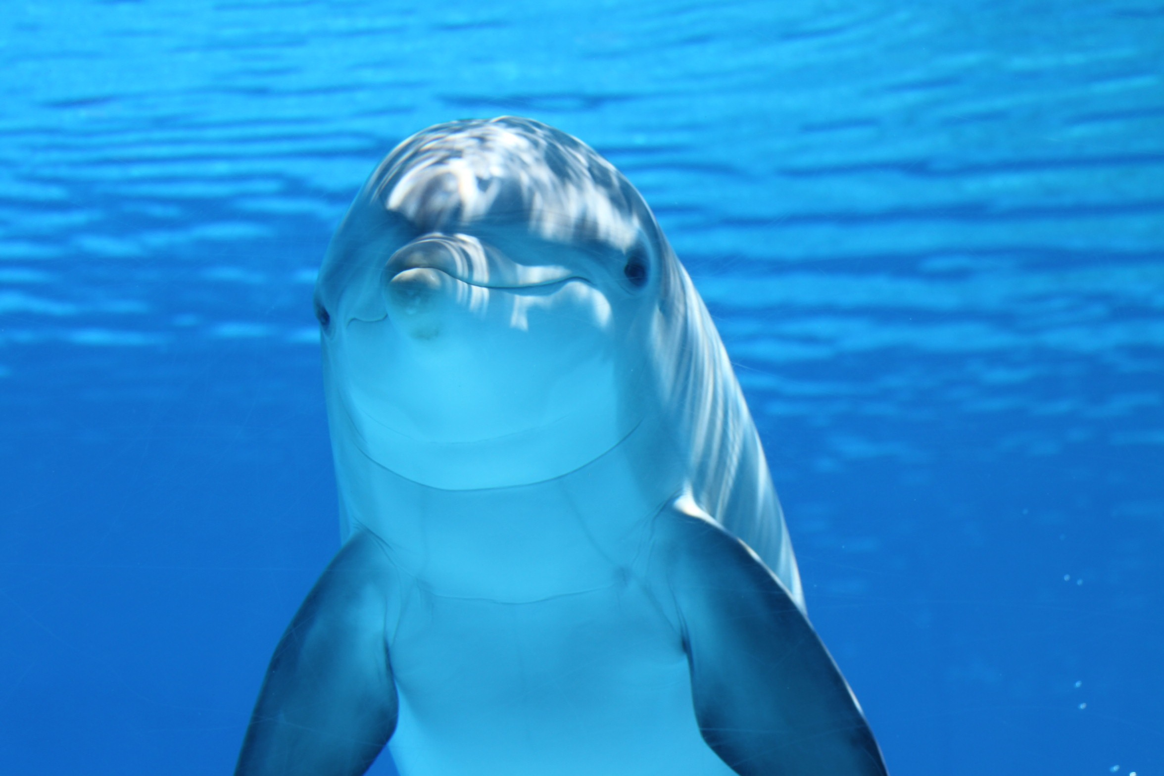 66148 download wallpaper Animals, Dolphin, Under Water, Underwater, Mammal screensavers and pictures for free