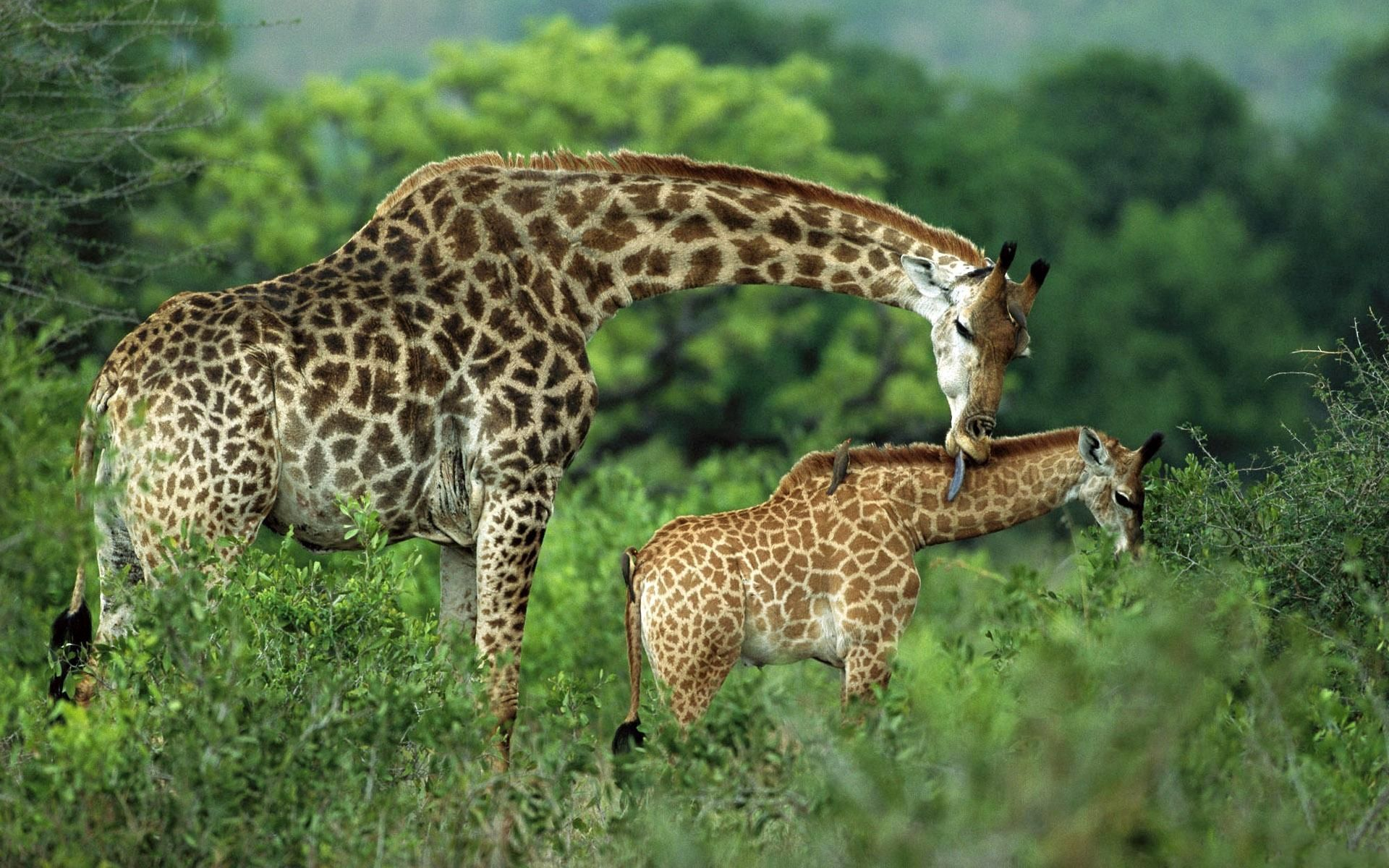 63987 download wallpaper Animals, Couple, Pair, Grass, Young, Joey, Care, Stroll, Giraffes screensavers and pictures for free