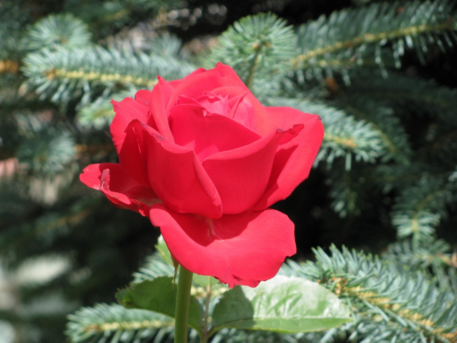 4122 скачать обои Растения, Цветы, Розы - заставки и картинки бесплатно