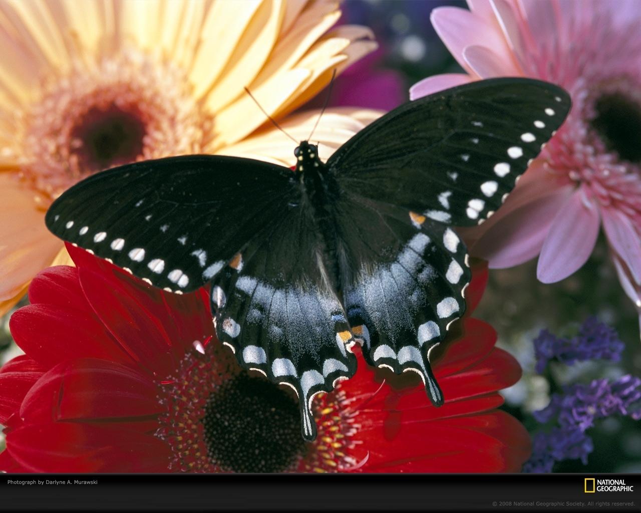 7120 скачать обои Бабочки, Насекомые - заставки и картинки бесплатно