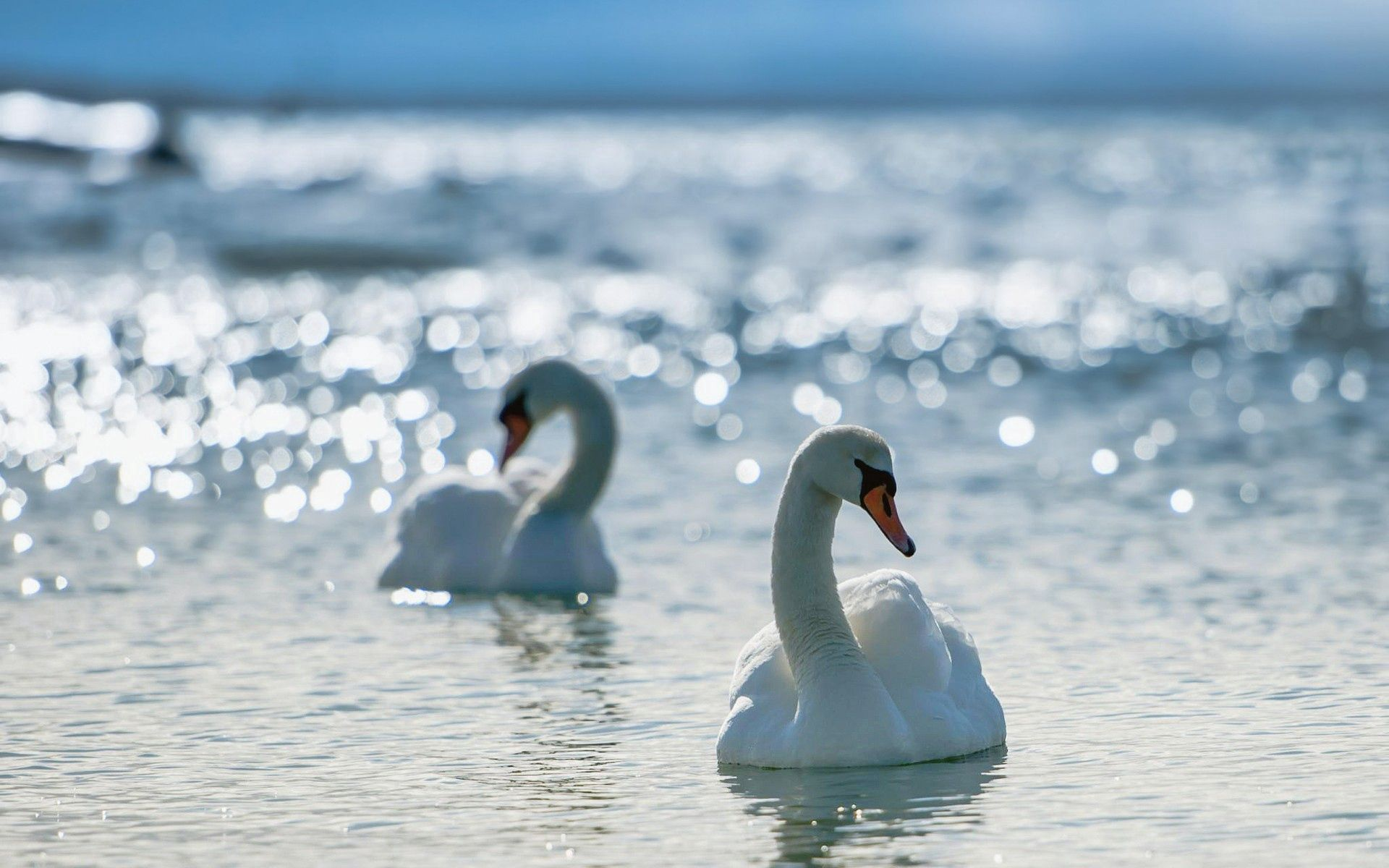 101847 download wallpaper Animals, Swans, Water, To Swim, Swim, Birds screensavers and pictures for free