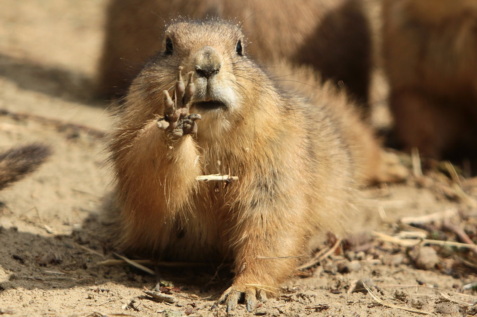 93813 download wallpaper Animals, Marmot, Paw, Mud, Dirt screensavers and pictures for free