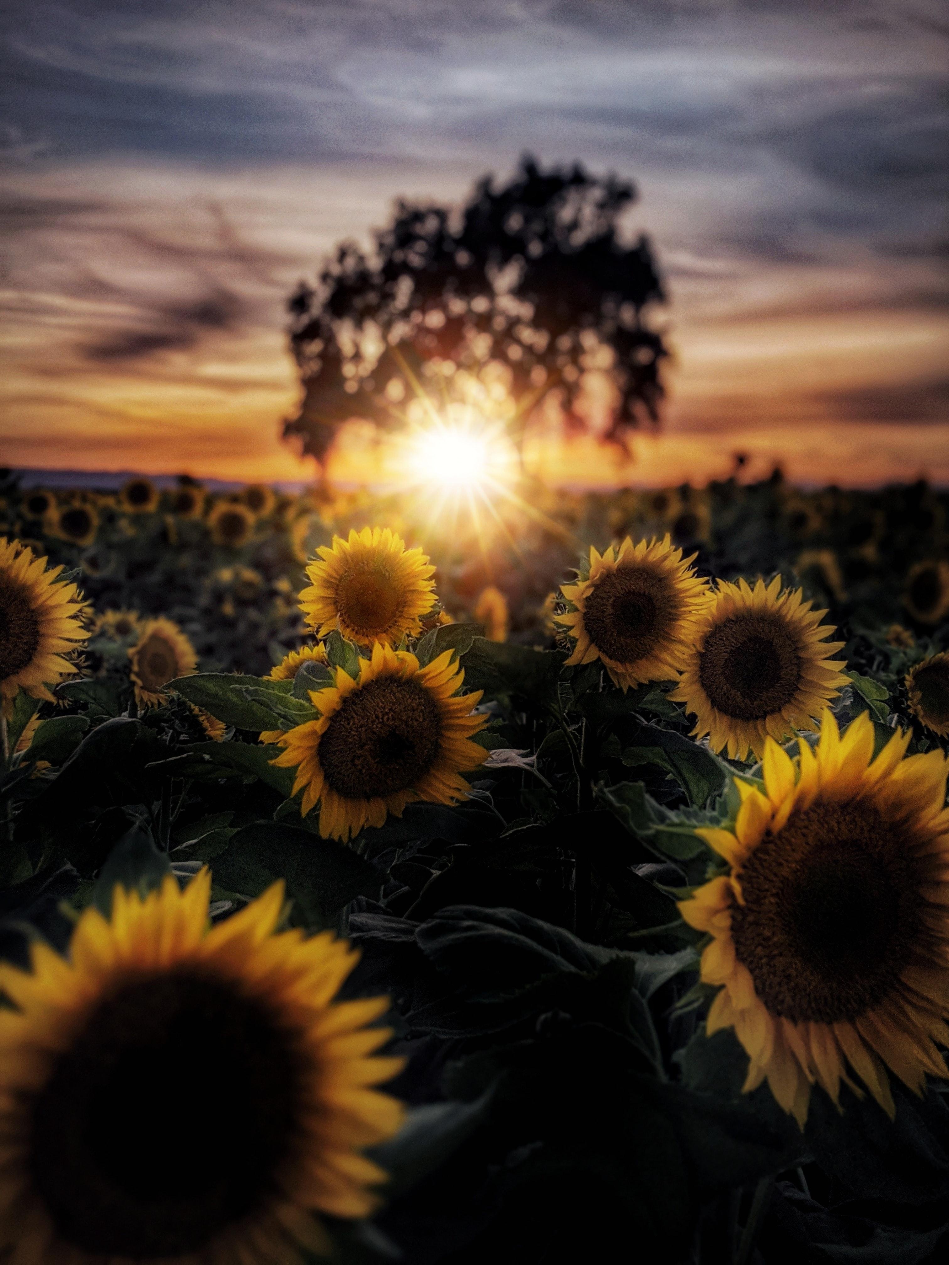 140748 Заставки и Обои Подсолнухи на телефон. Скачать Цветы, Лепестки, Лучи, Солнце, Подсолнухи картинки бесплатно