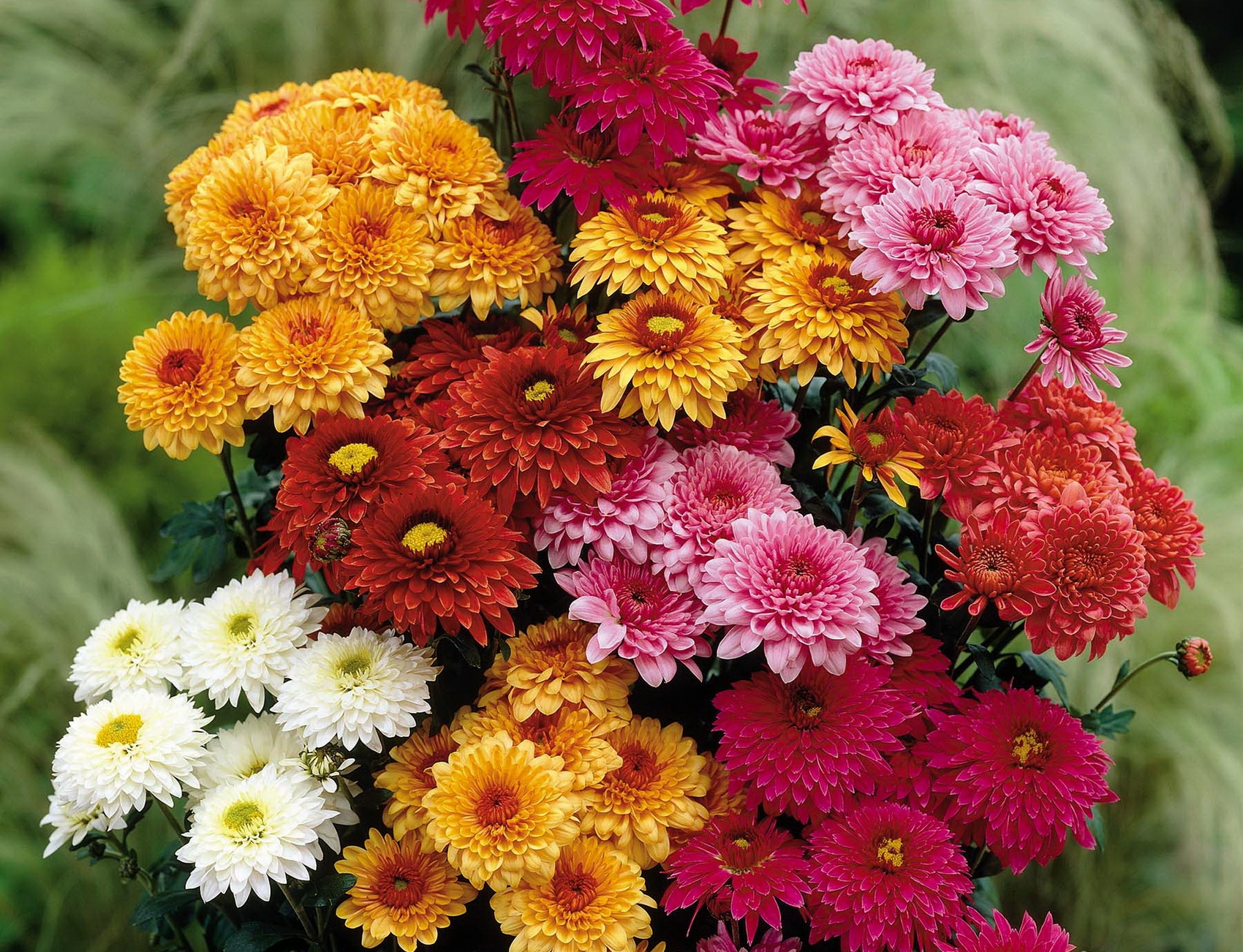 106738 download wallpaper Flowers, Bouquet, Different, Bright, Beauty, Chrysanthemum screensavers and pictures for free