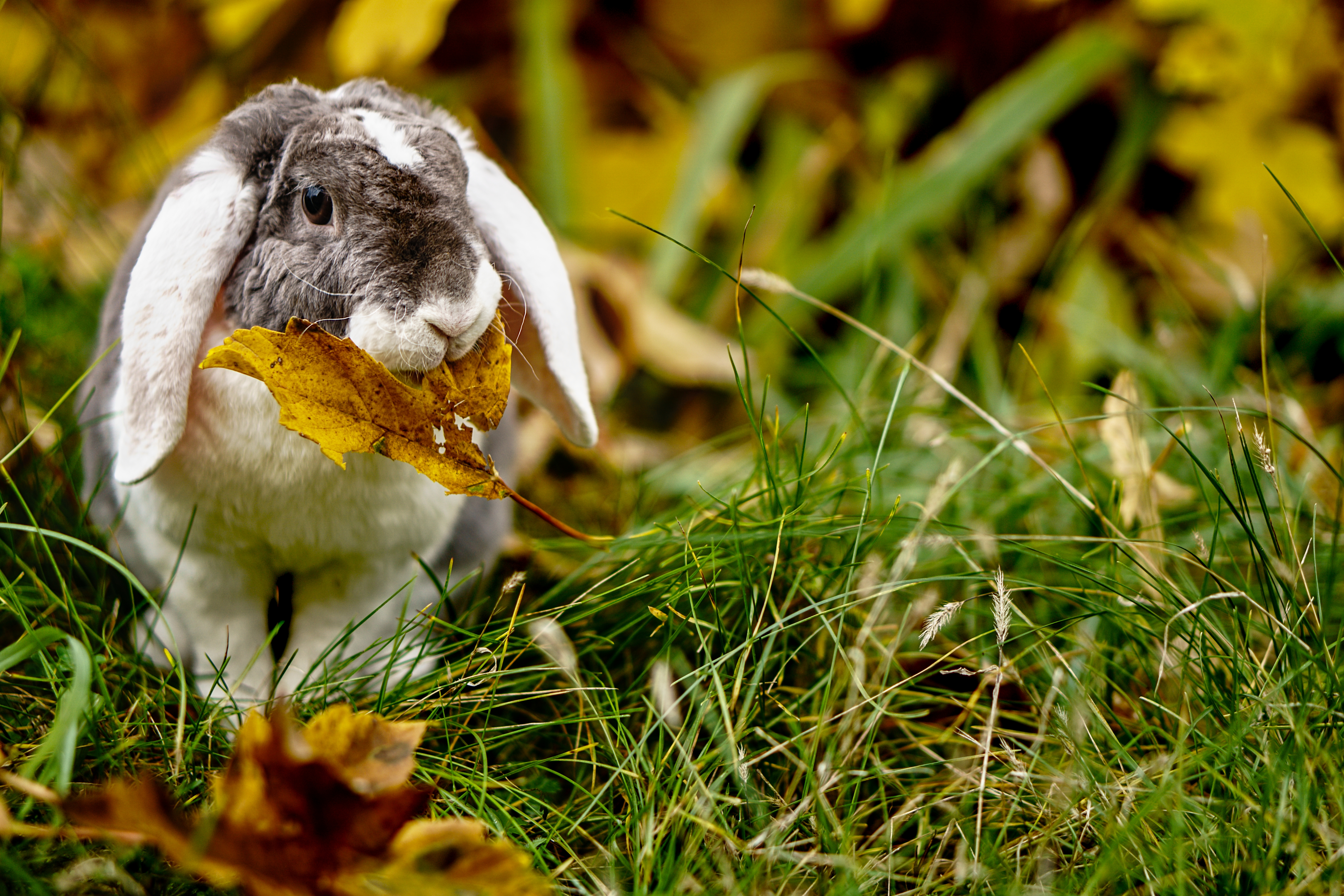 122787 download wallpaper Animals, Rabbit, Leaflet, Grass, Nice, Sweetheart, Animal screensavers and pictures for free