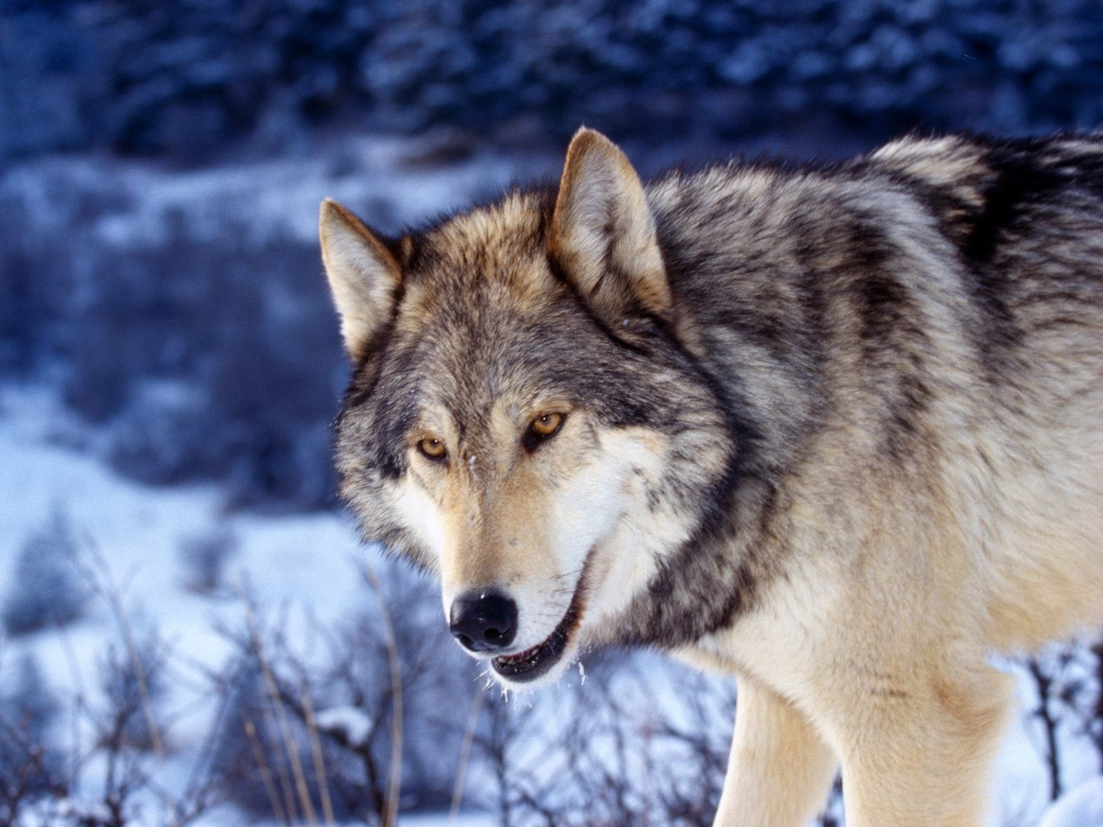 6261 download wallpaper Animals, Wolfs screensavers and pictures for free