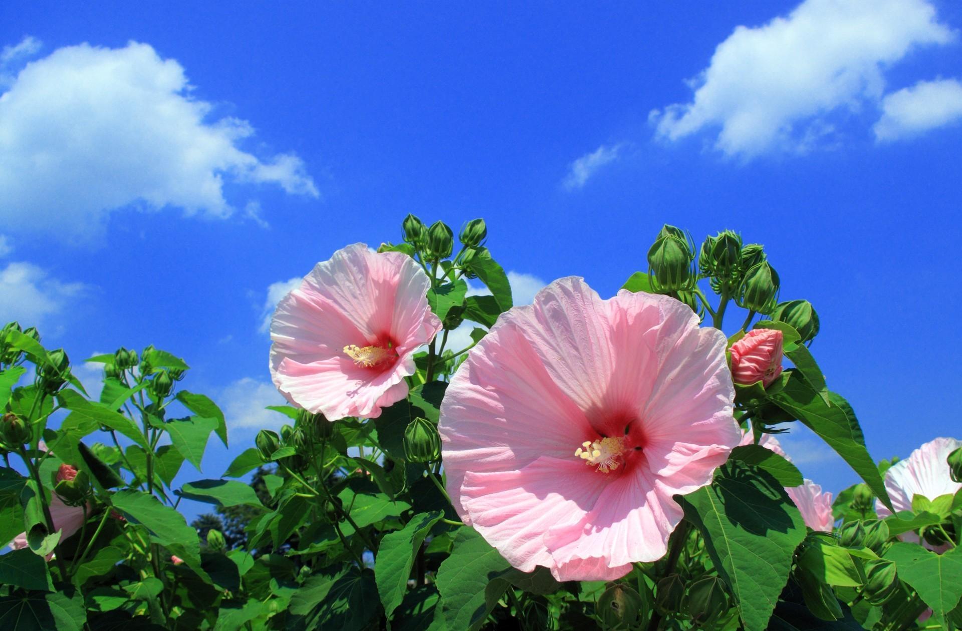 150032 Salvapantallas y fondos de pantalla Flores en tu teléfono. Descarga imágenes de Flores, Malva, Cielo, Nubes gratis
