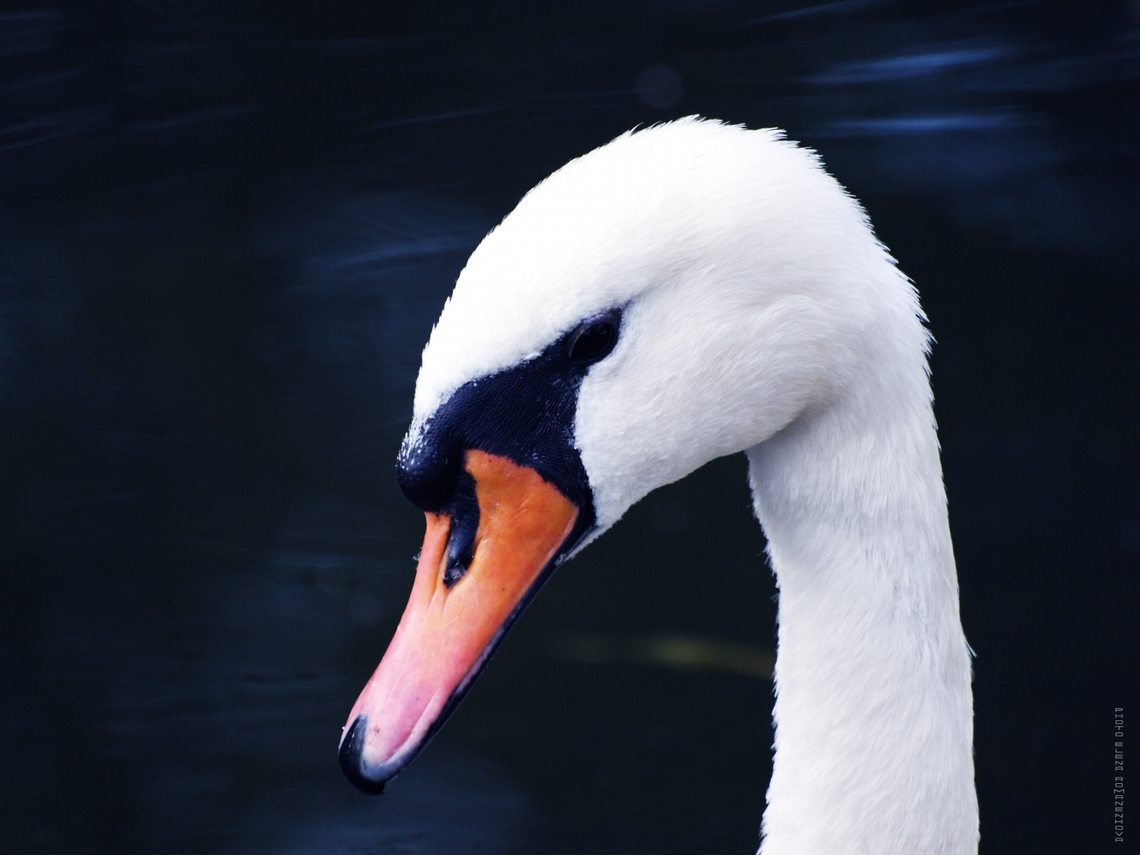 1262 download wallpaper Animals, Birds, Swans screensavers and pictures for free