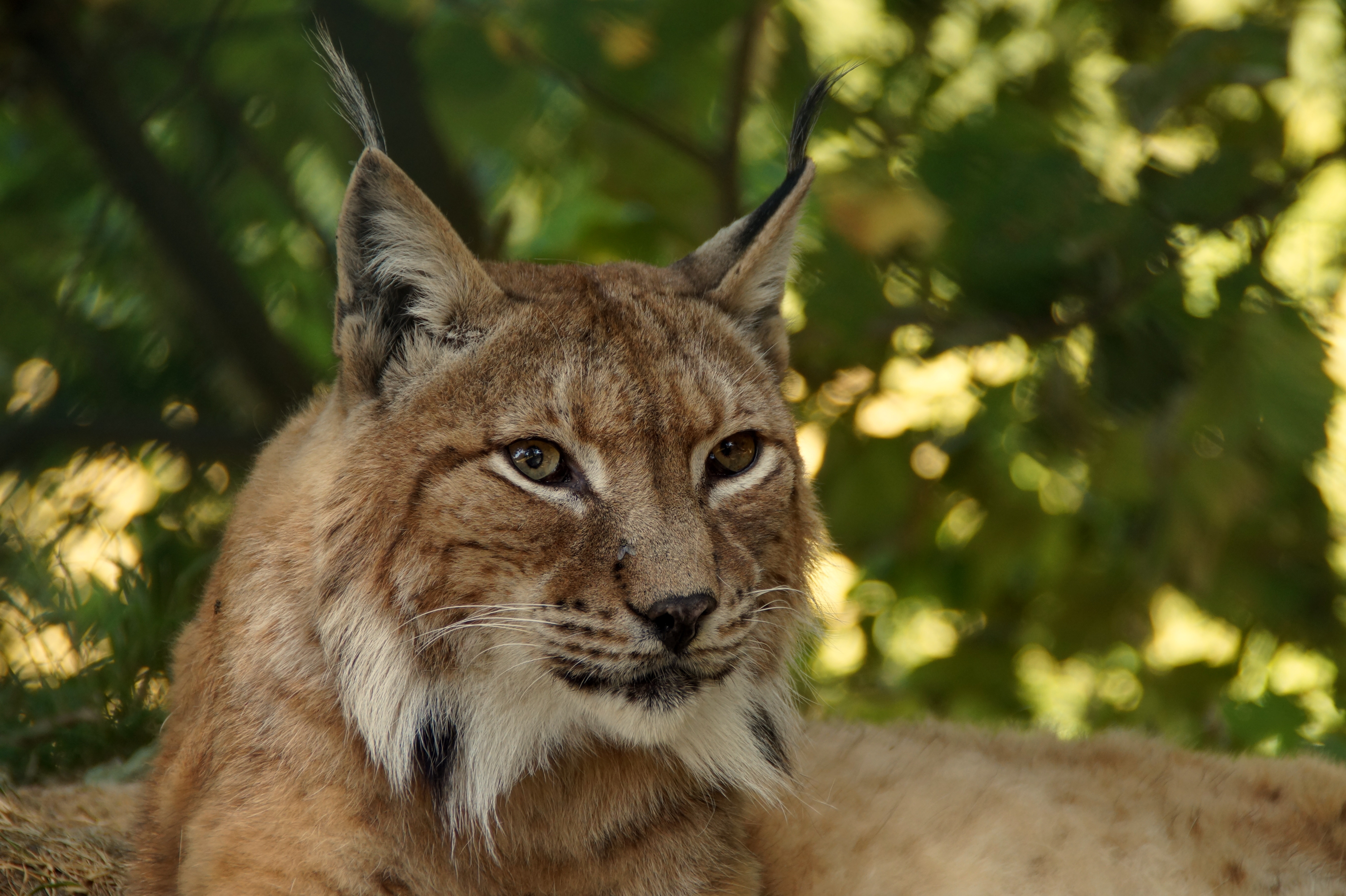 156444 download wallpaper Animals, Iris, Muzzle, Predator, Big Cat screensavers and pictures for free