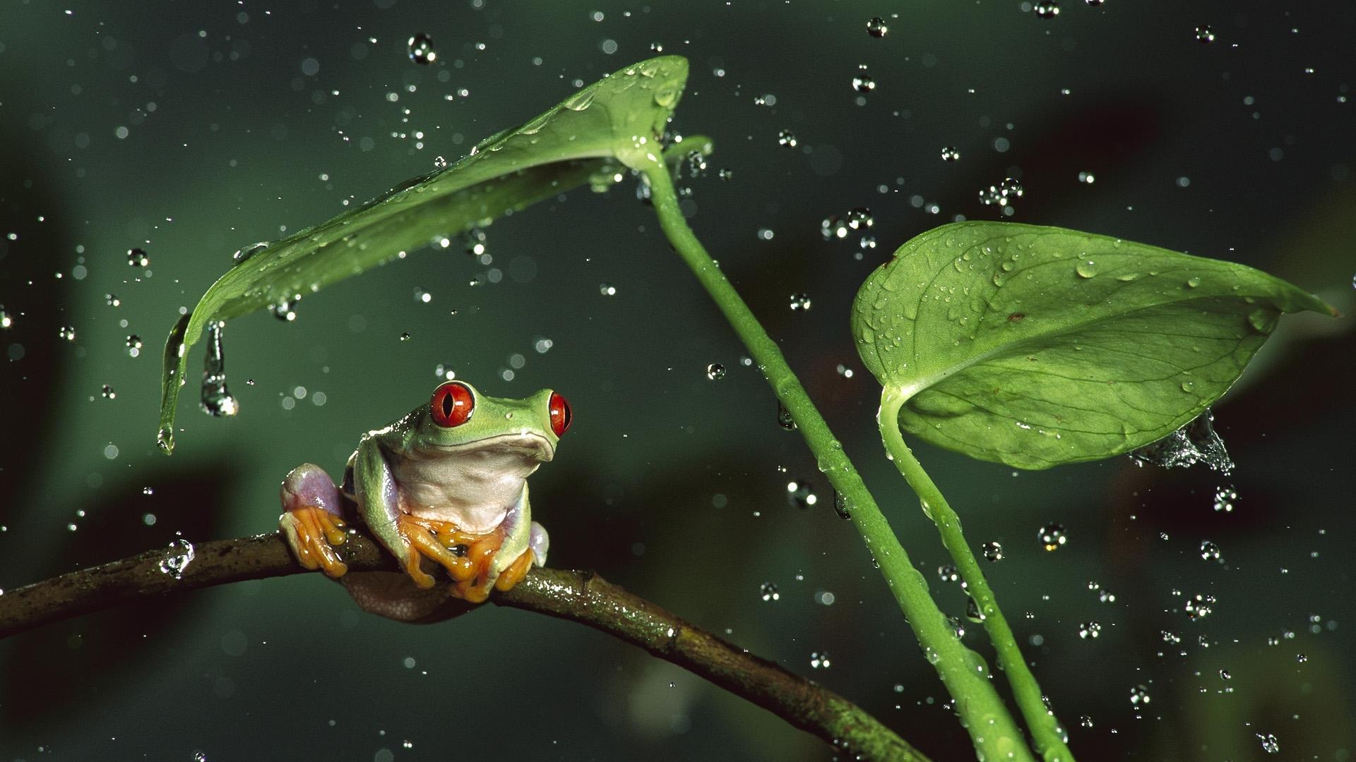 24220 Hintergrundbild herunterladen Tiere, Blätter, Frösche, Drops - Bildschirmschoner und Bilder kostenlos