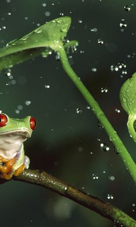 24220 baixar papel de parede Animais, Folhas, Frogs, Drops - protetores de tela e imagens gratuitamente