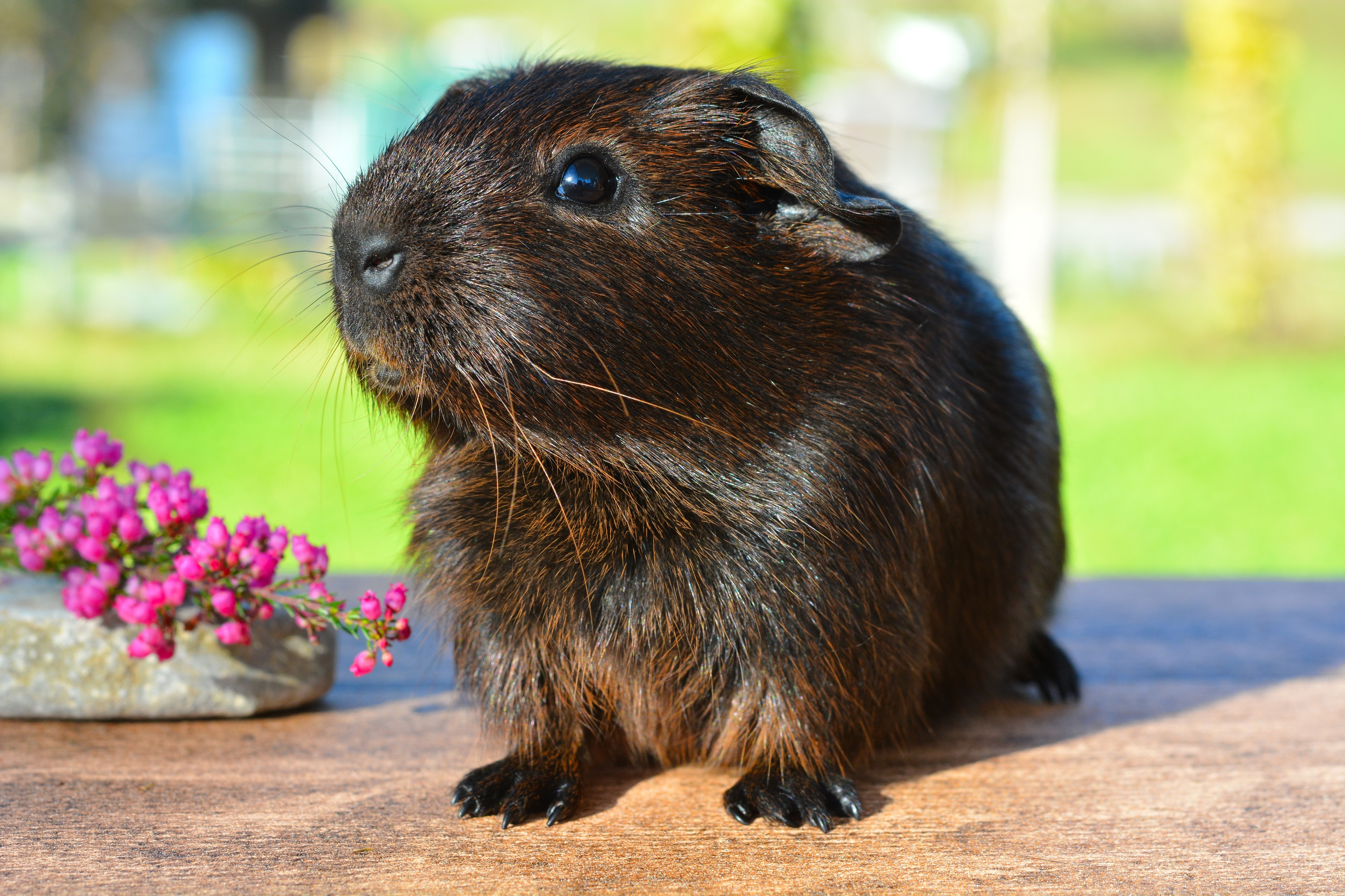 133008 download wallpaper Animals, Guinea Pig, Rodent, Shine, Brilliance screensavers and pictures for free