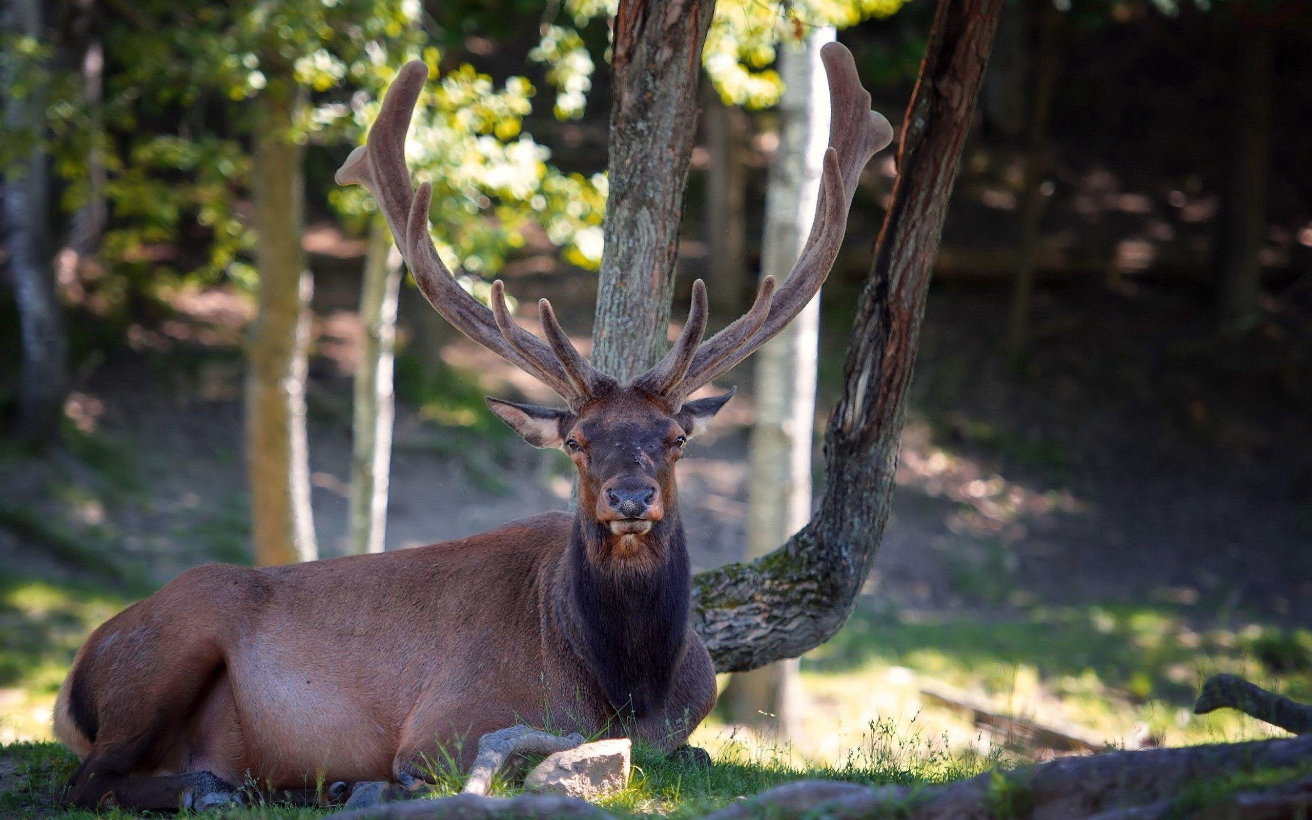 83182 download wallpaper Animals, Deer, Horns, To Lie Down, Lie, Nature, Wood, Tree screensavers and pictures for free