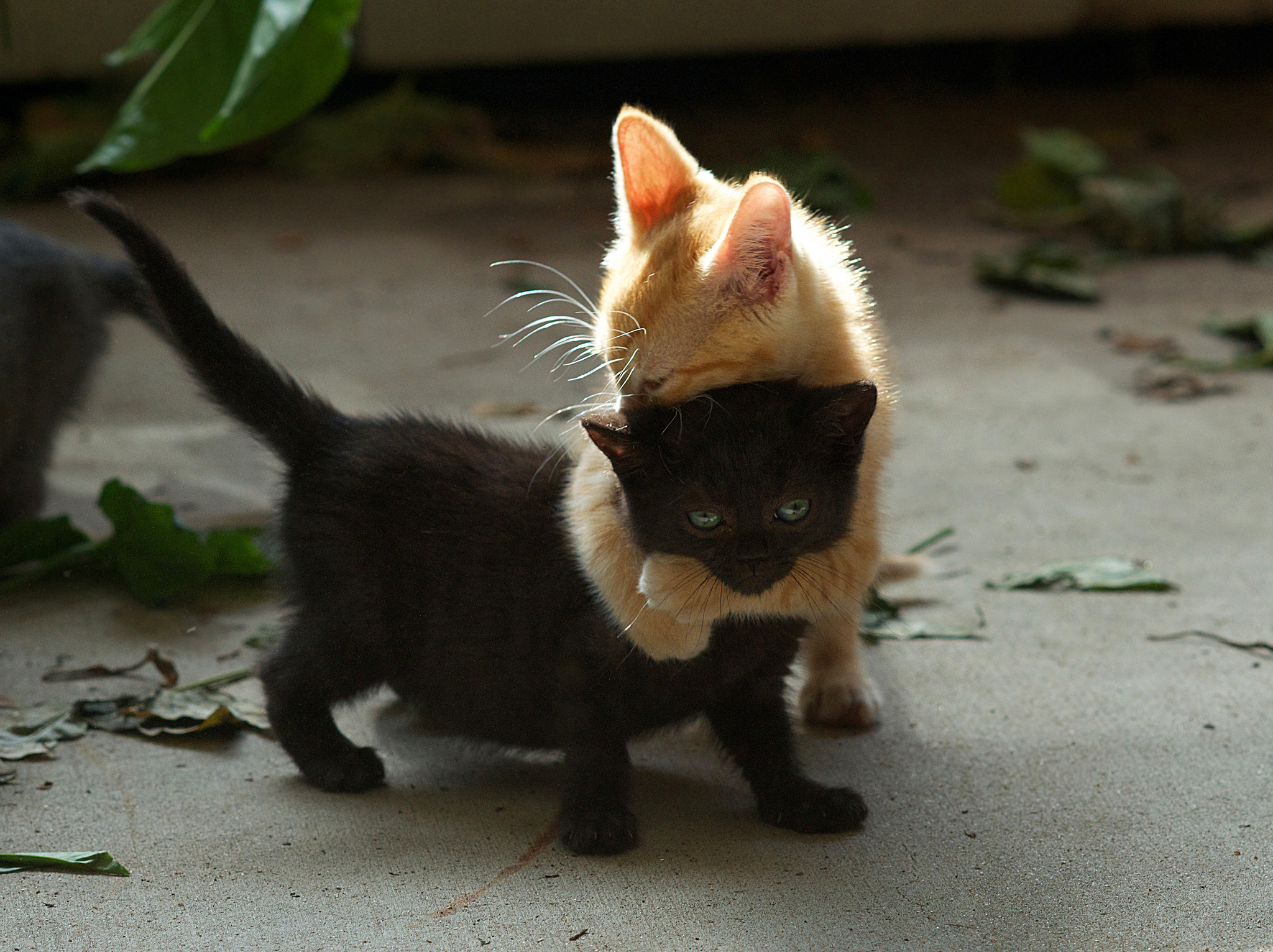 136167 download wallpaper Animals, Couple, Pair, Redhead, Playful, Kittens screensavers and pictures for free