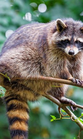 150943 download wallpaper Animals, Raccoon, Animal, Nice, Sweetheart, Funny, Branch screensavers and pictures for free