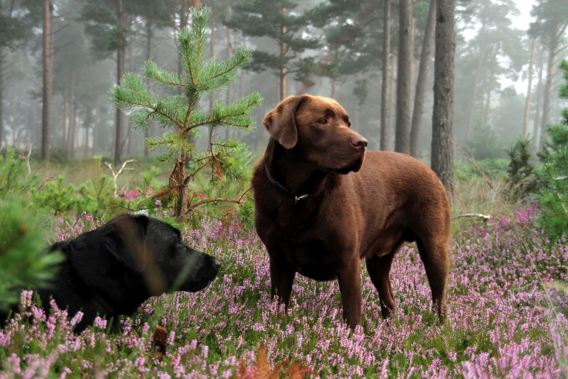 63895 download wallpaper Animals, Dogs, Polyana, Glade, Grass, To Lie Down, Lie, Relaxation, Rest, Flowers screensavers and pictures for free
