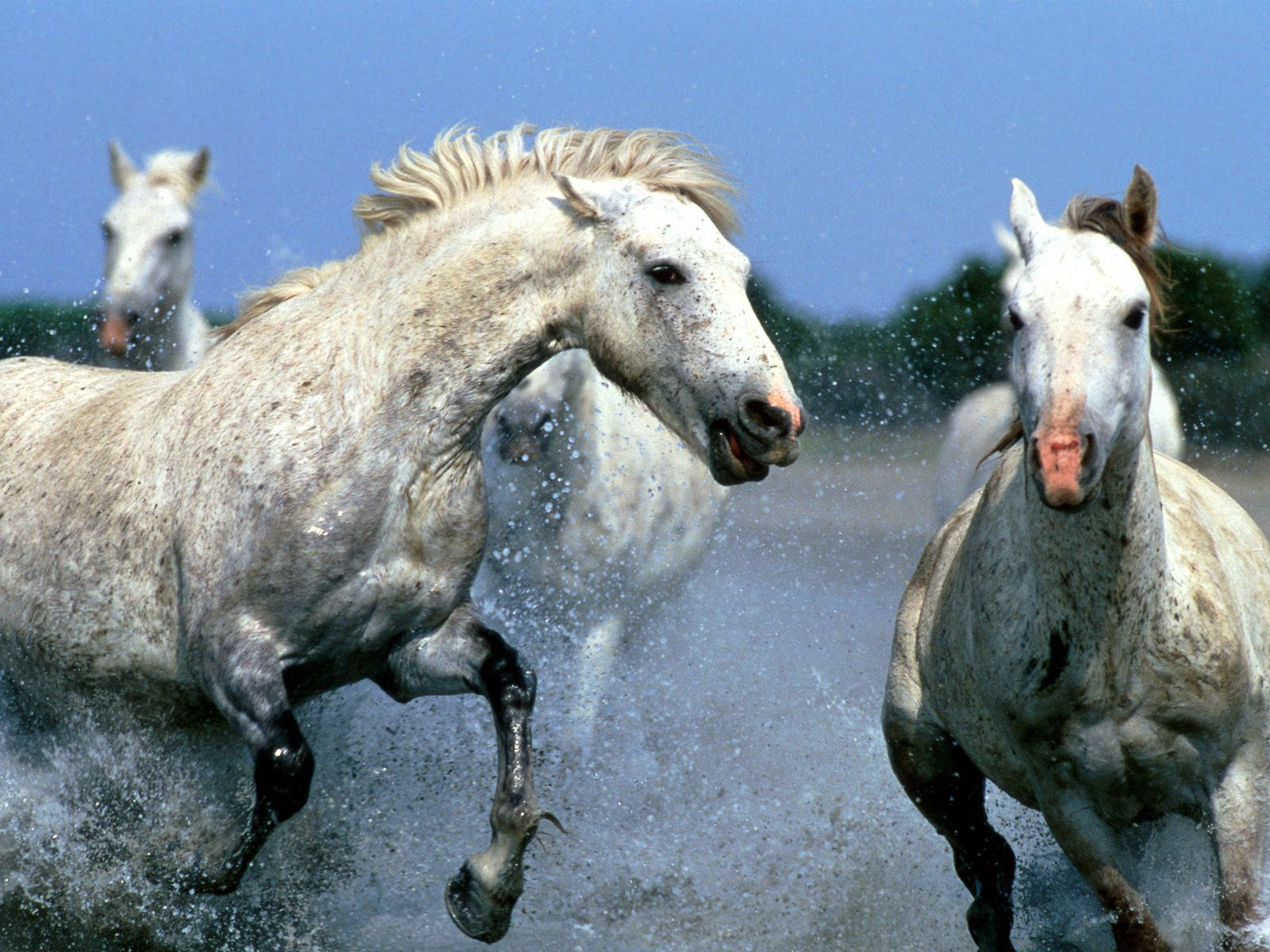 78648 download wallpaper Animals, Horses, Spray, Water, Stroll, Couple, Pair screensavers and pictures for free