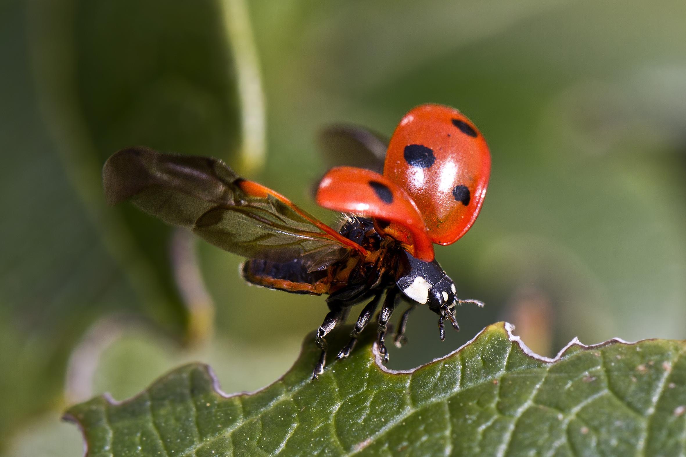 65217 Hintergrundbild herunterladen Marienkäfer, Makro, Blatt, Insekt, Flügel, Ladybird - Bildschirmschoner und Bilder kostenlos
