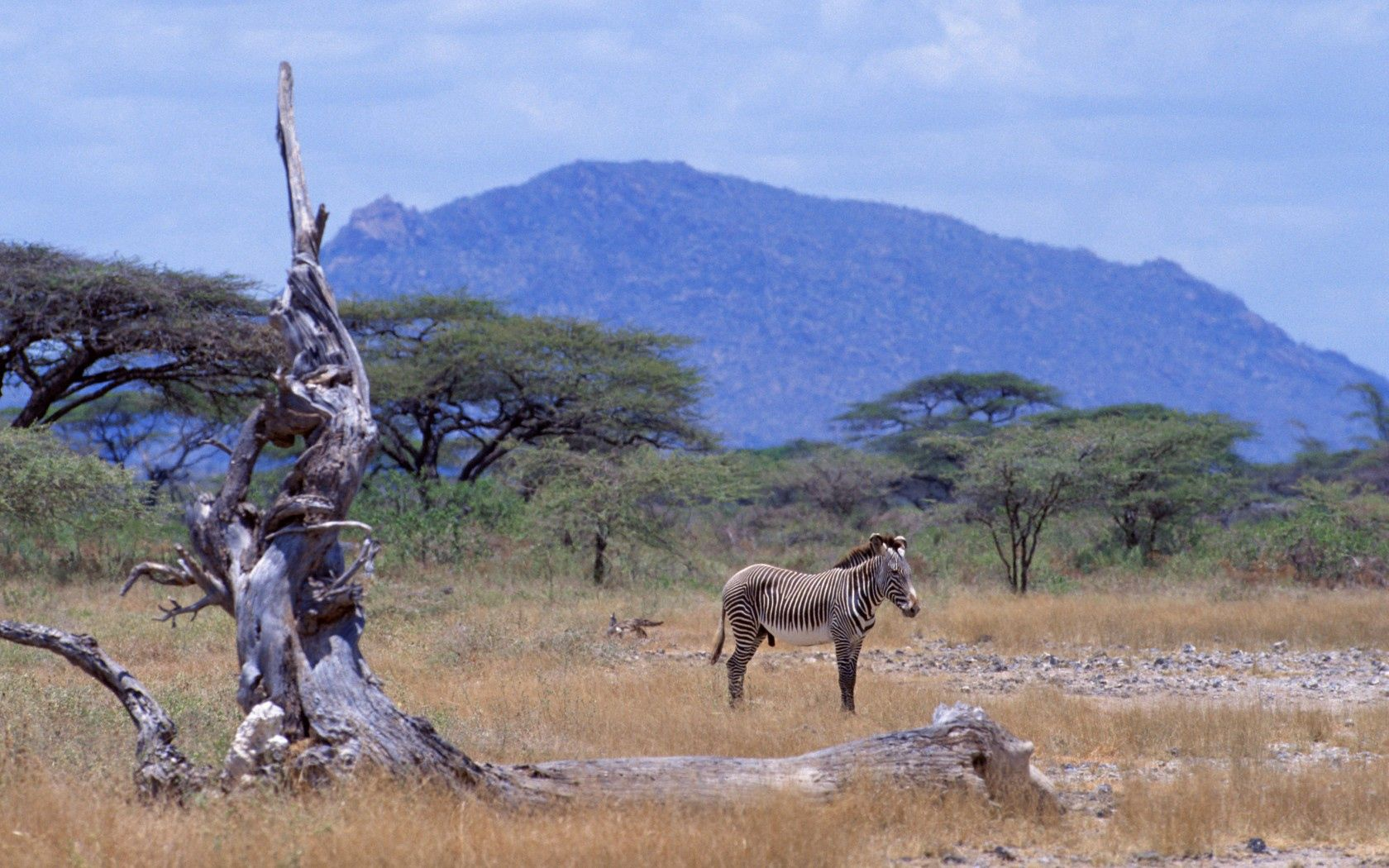 98343 download wallpaper Animals, Africa, Zebra, Savanna, Wood, Tree, Mountain screensavers and pictures for free
