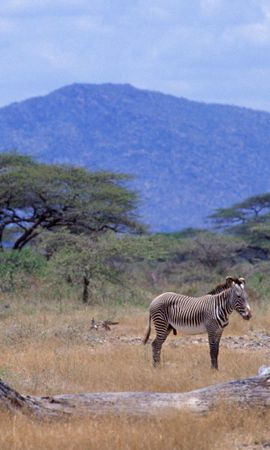 98343 скачать обои Животные, Африка, Зебры, Саванна, Дерево, Гора - заставки и картинки бесплатно