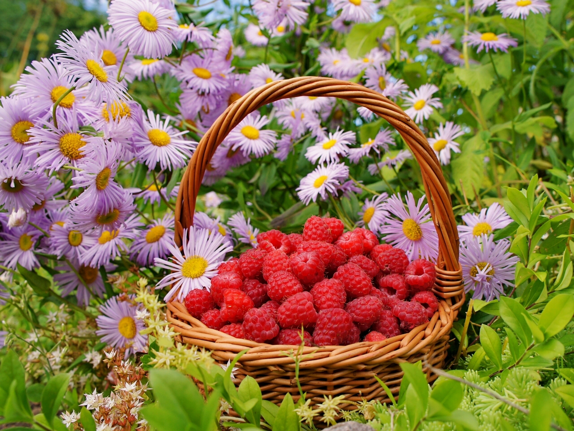 50771 скачать обои Цветы, Еда, Ягоды, Малина, Корзина - заставки и картинки бесплатно
