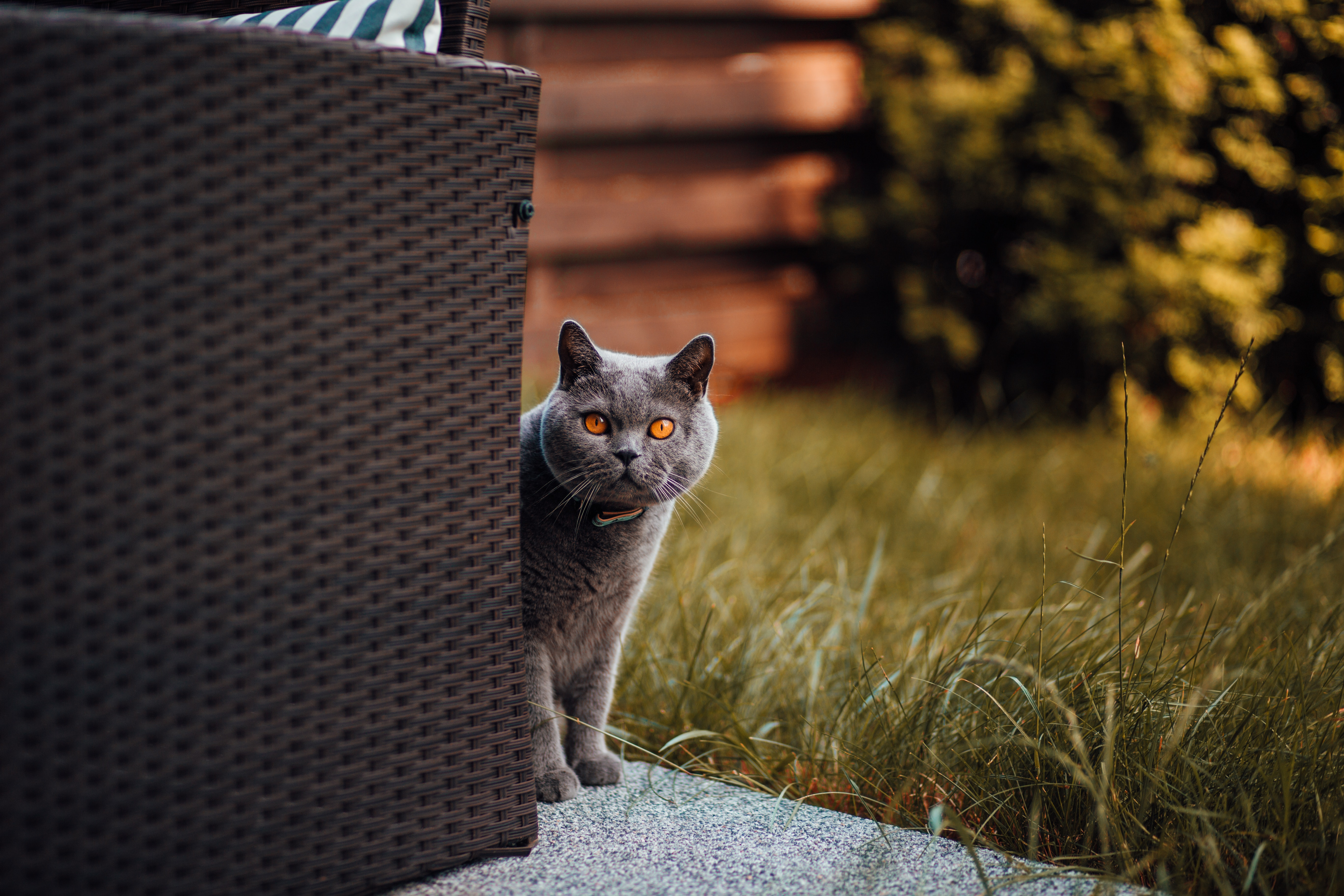 57449 download wallpaper Animals, Cat, Briton, Peek Out, Look Out, Curiosity screensavers and pictures for free